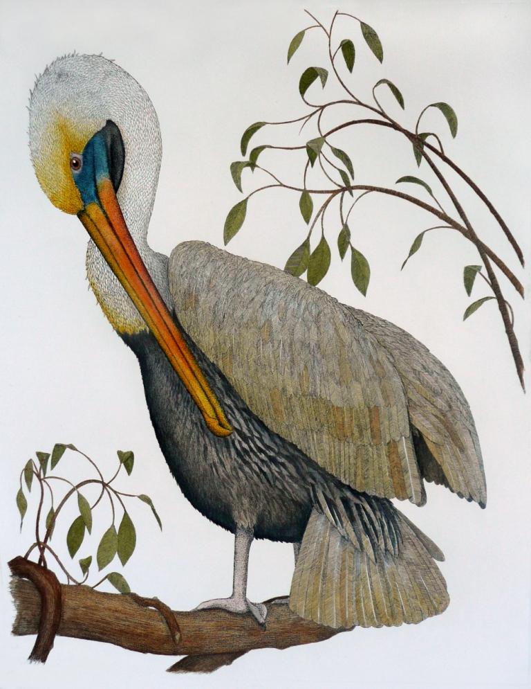 'Brown Pelican'