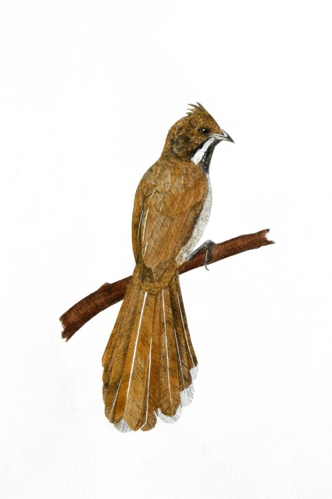 'Western Whipbird'