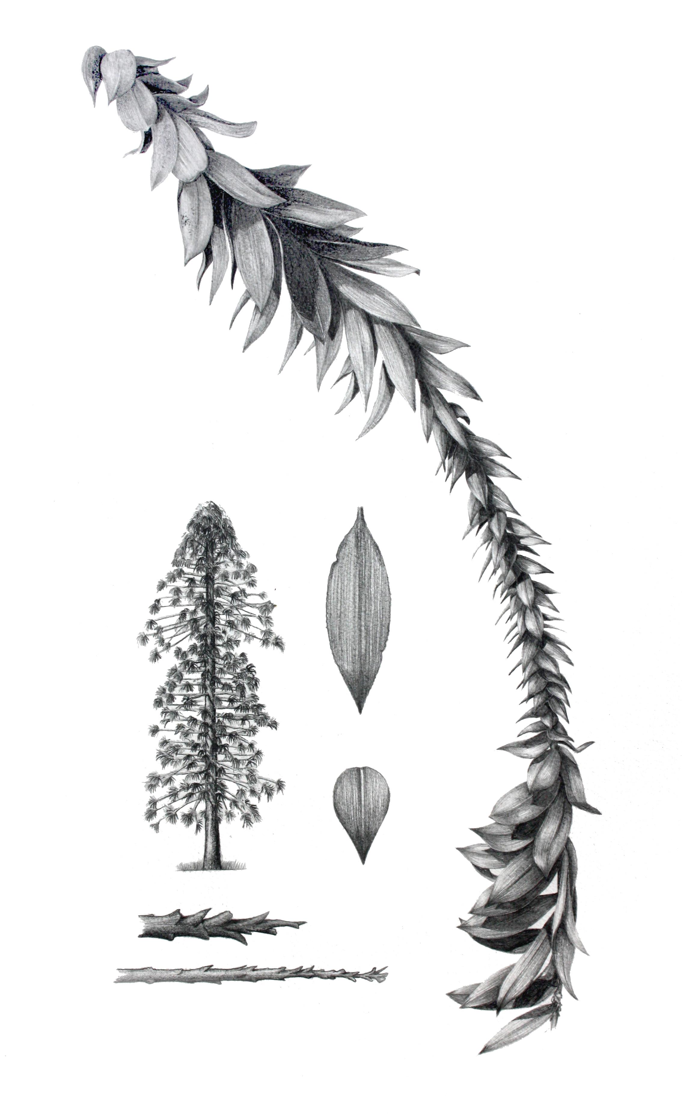 'Bunya Pine'