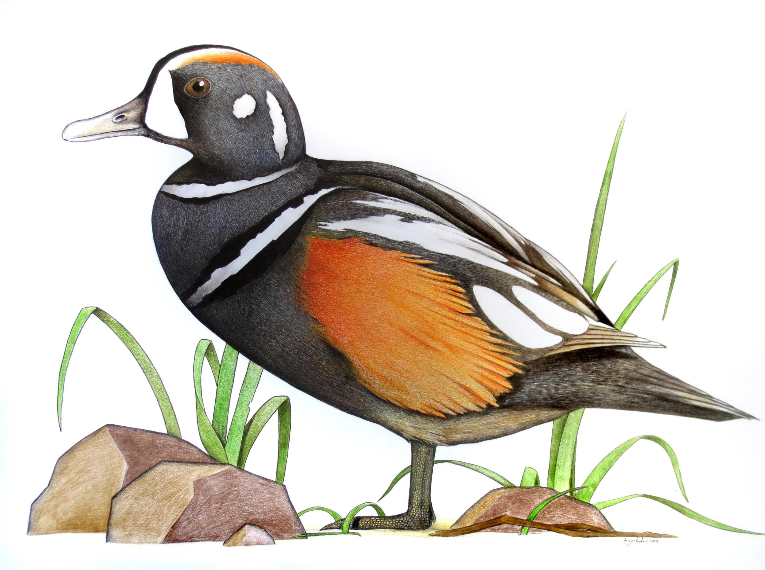 'Harlequin Duck'