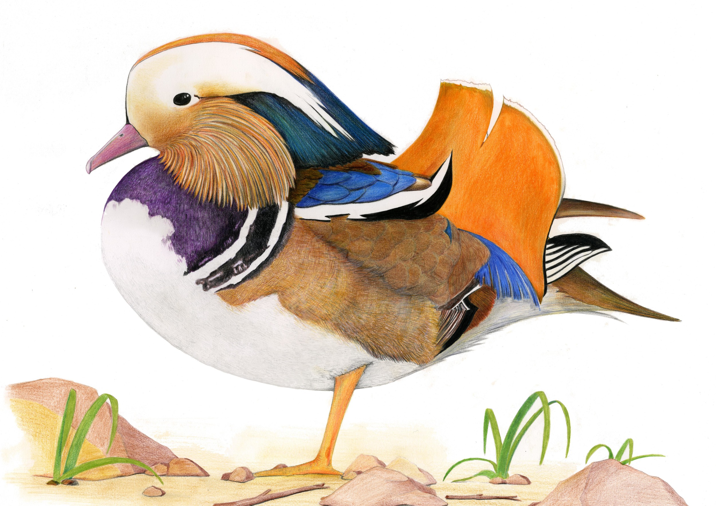 'Mandarin Duck #2'