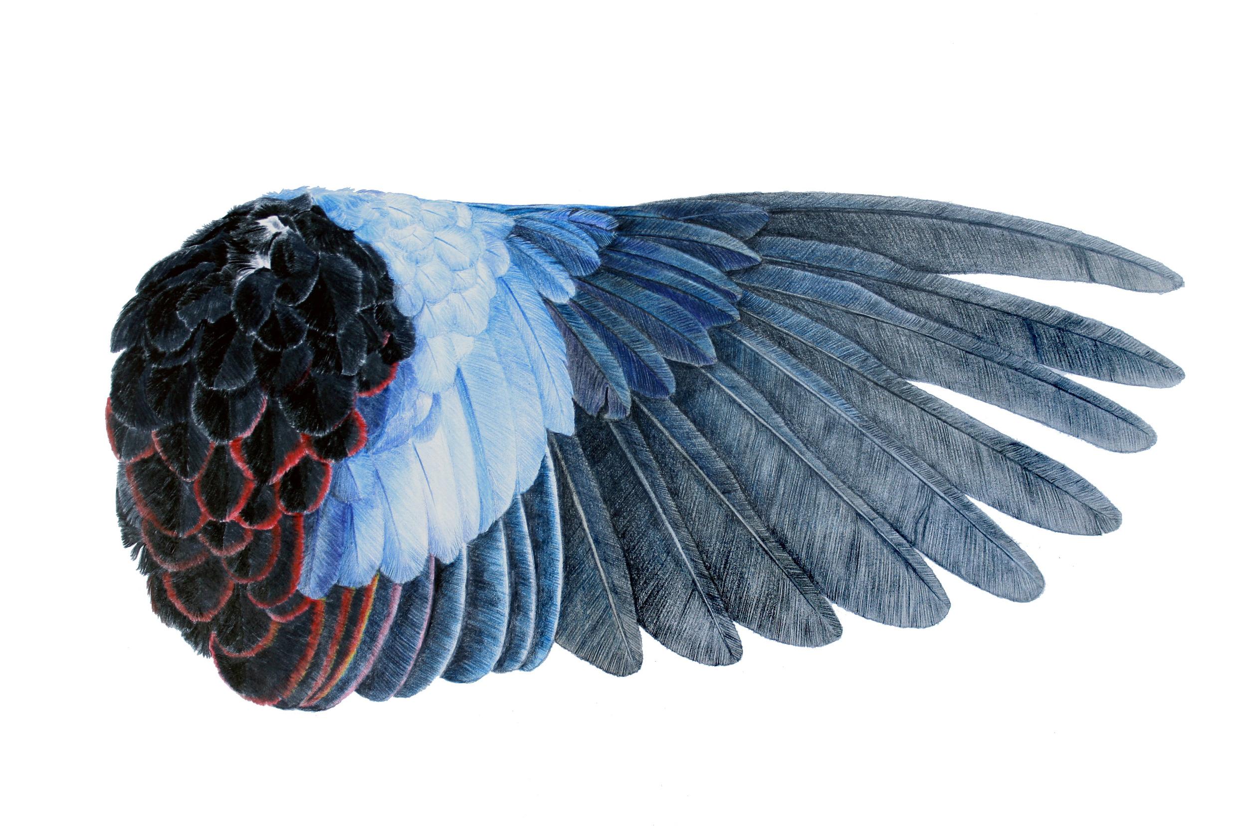 'Rosella Wing'