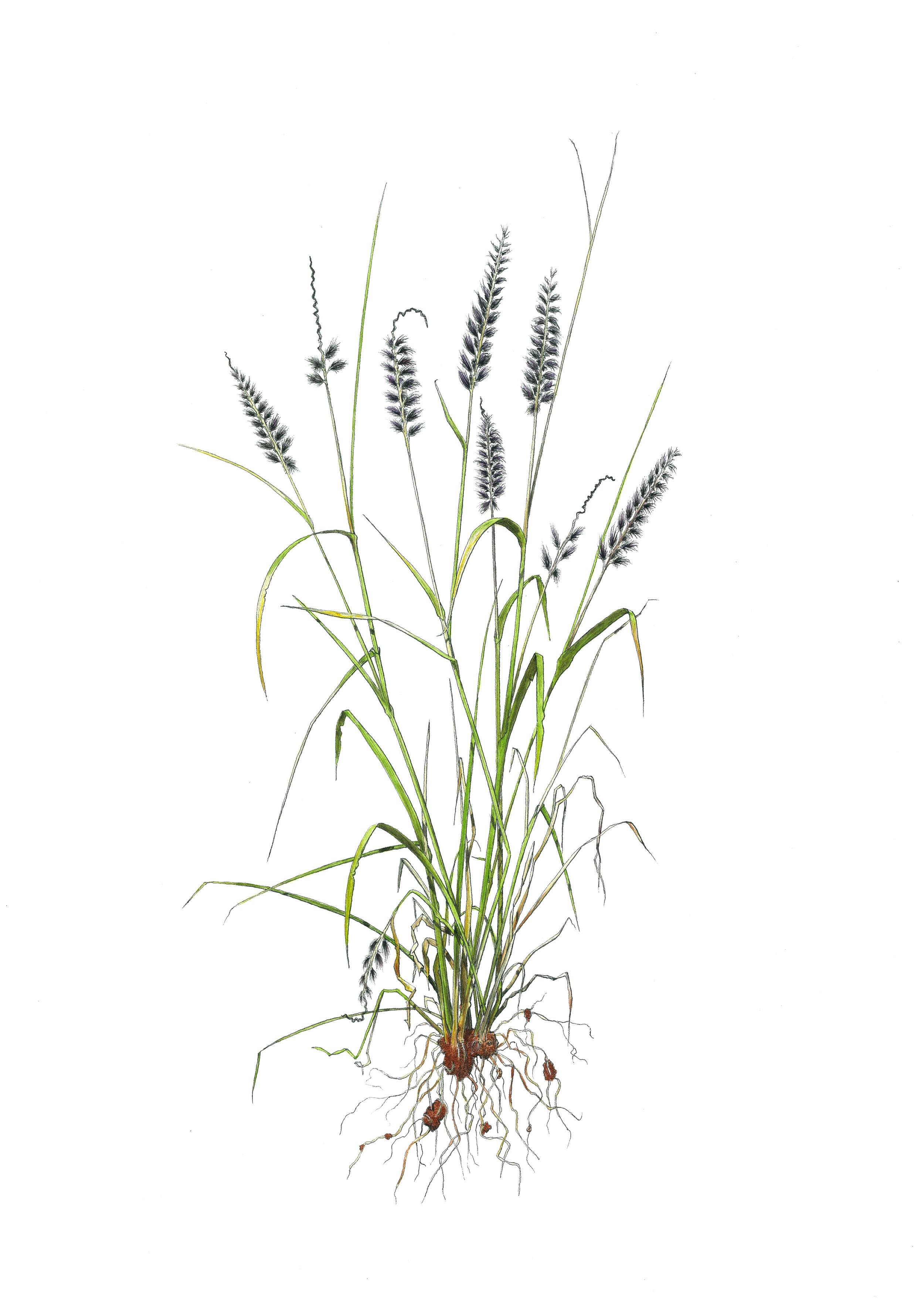 'Grass #1'
