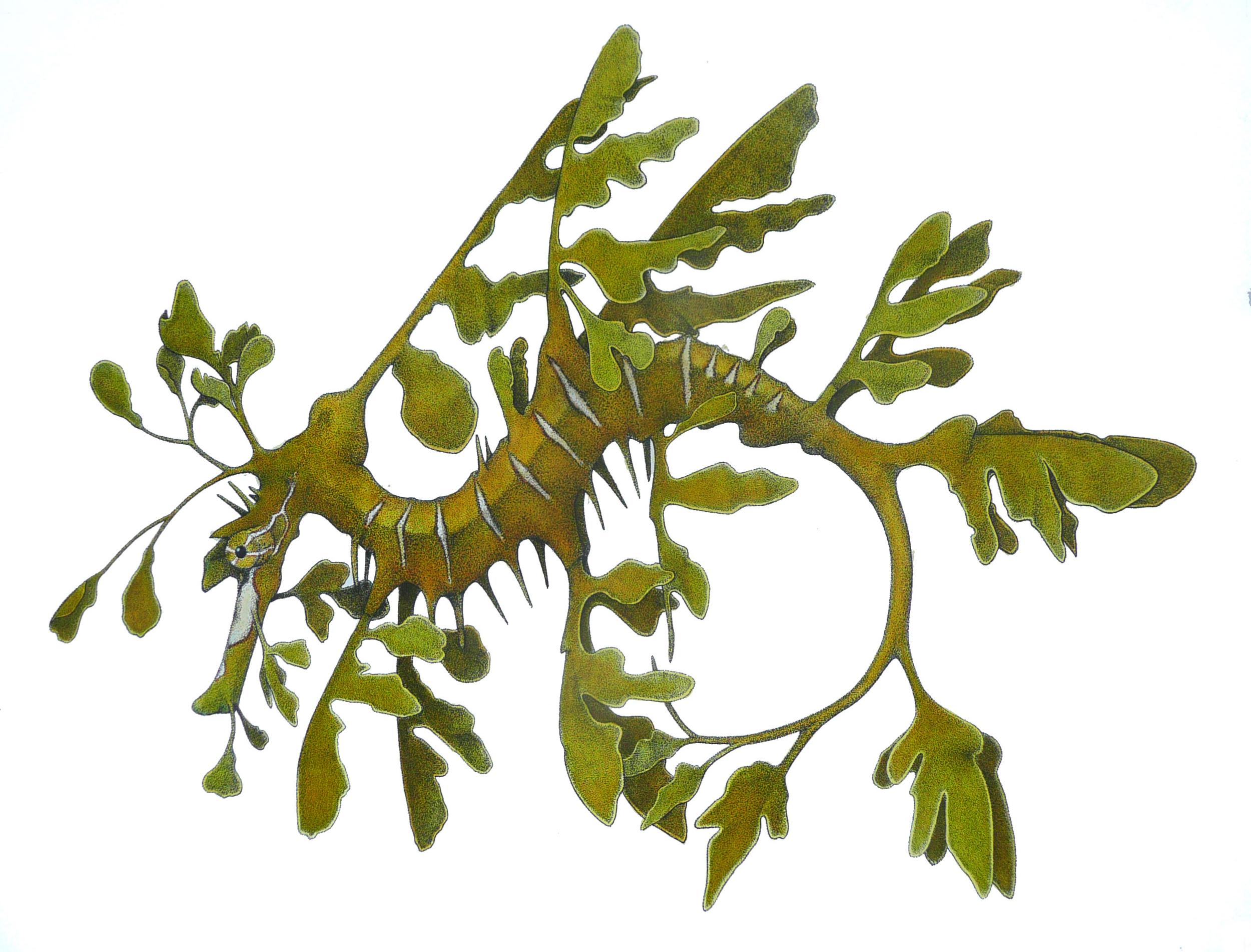 'Leafy Sea Dragon'