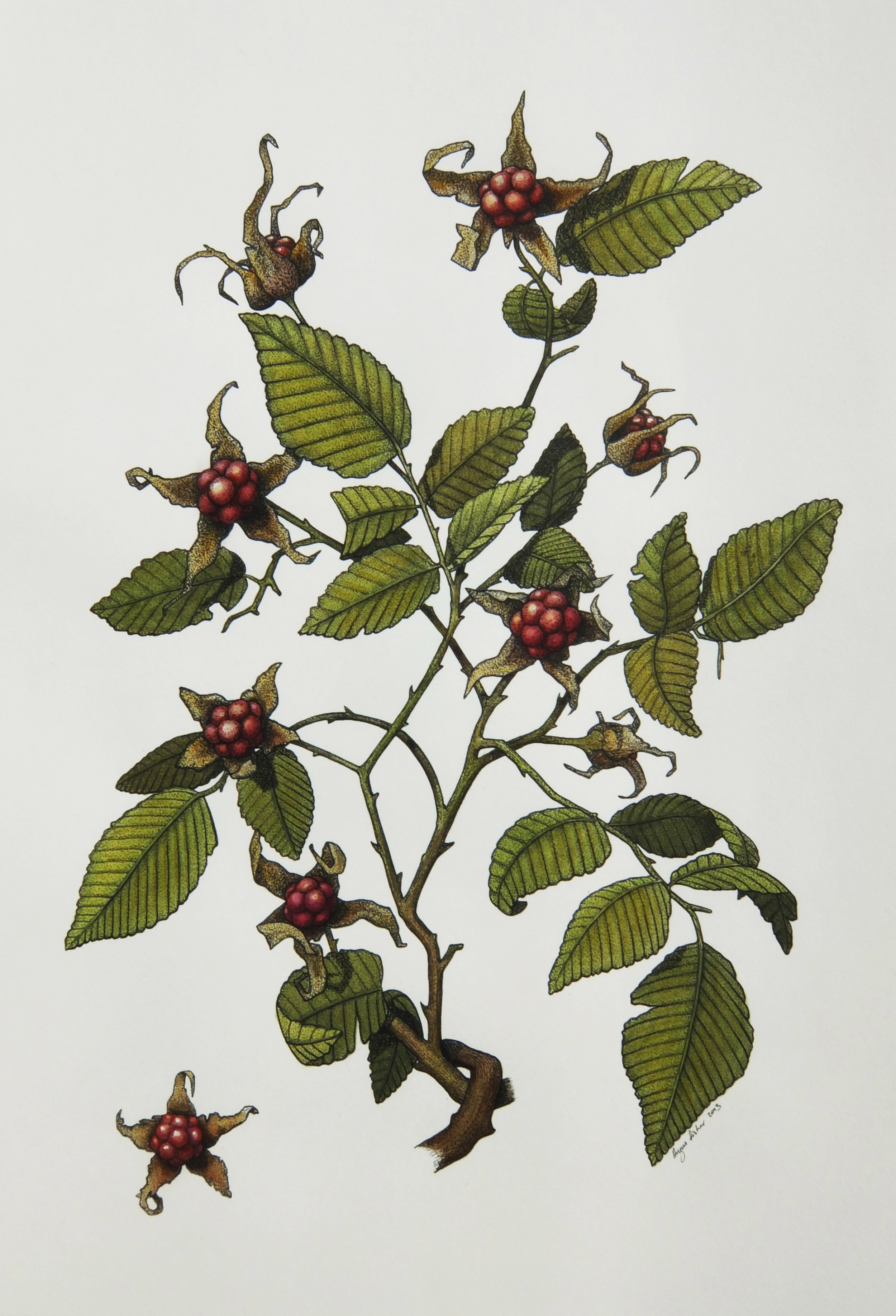 'Native Raspberry'