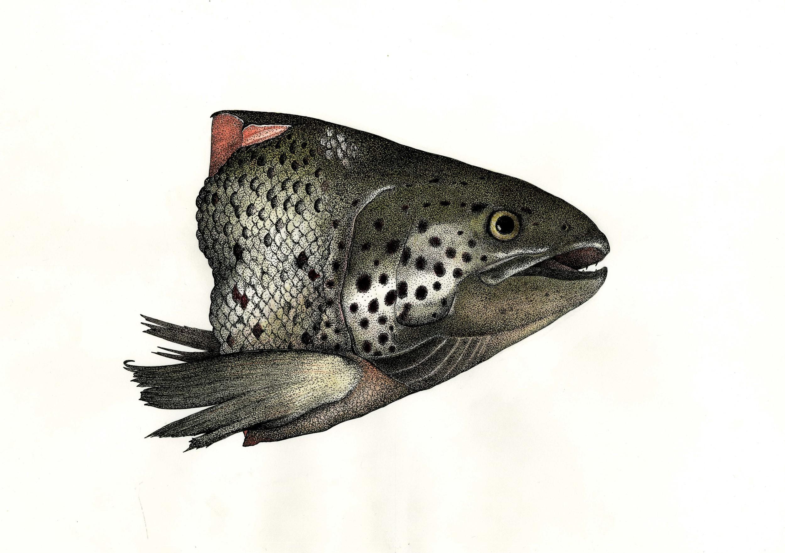 'Salmon Head'