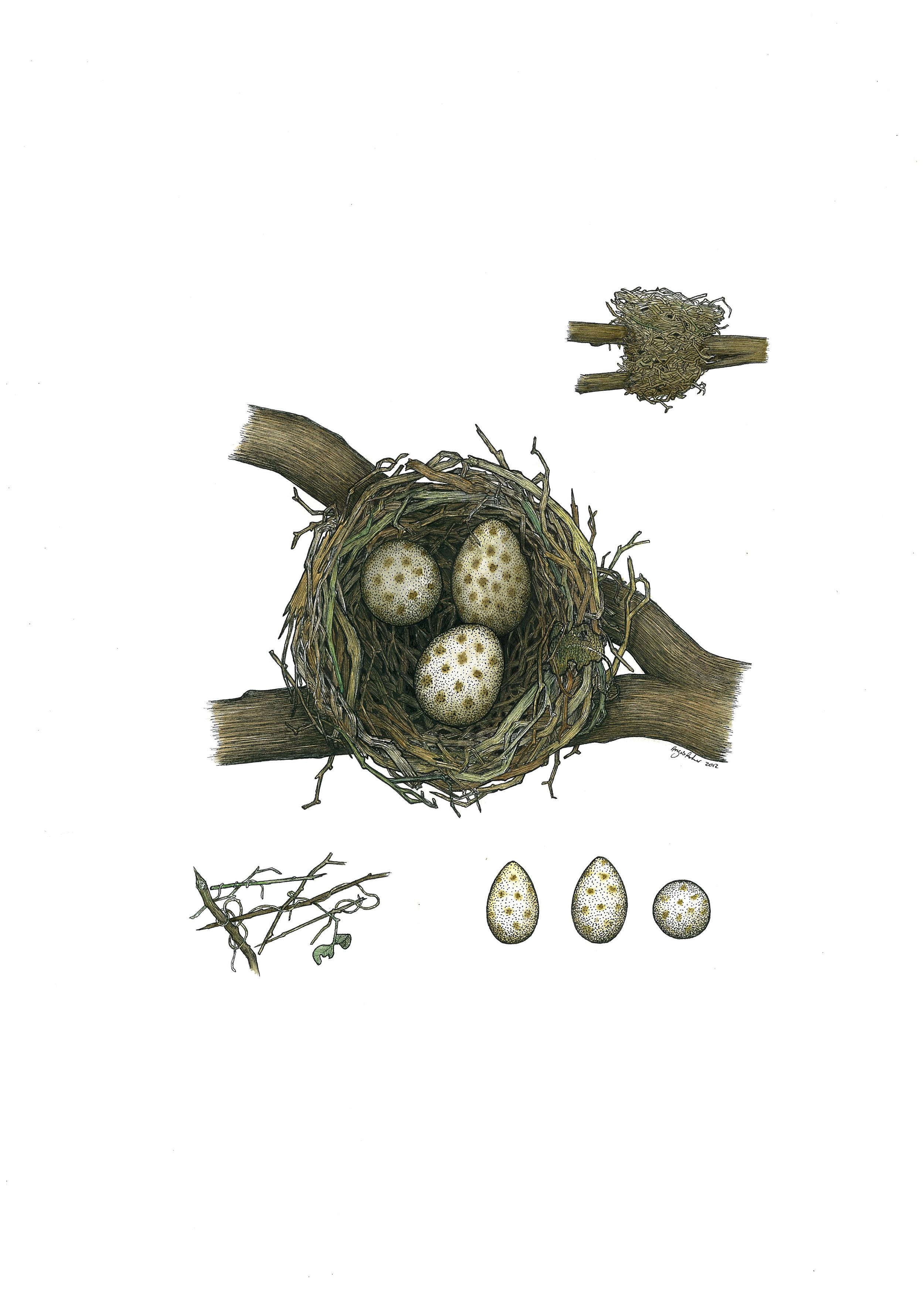 'Thrush Nest'