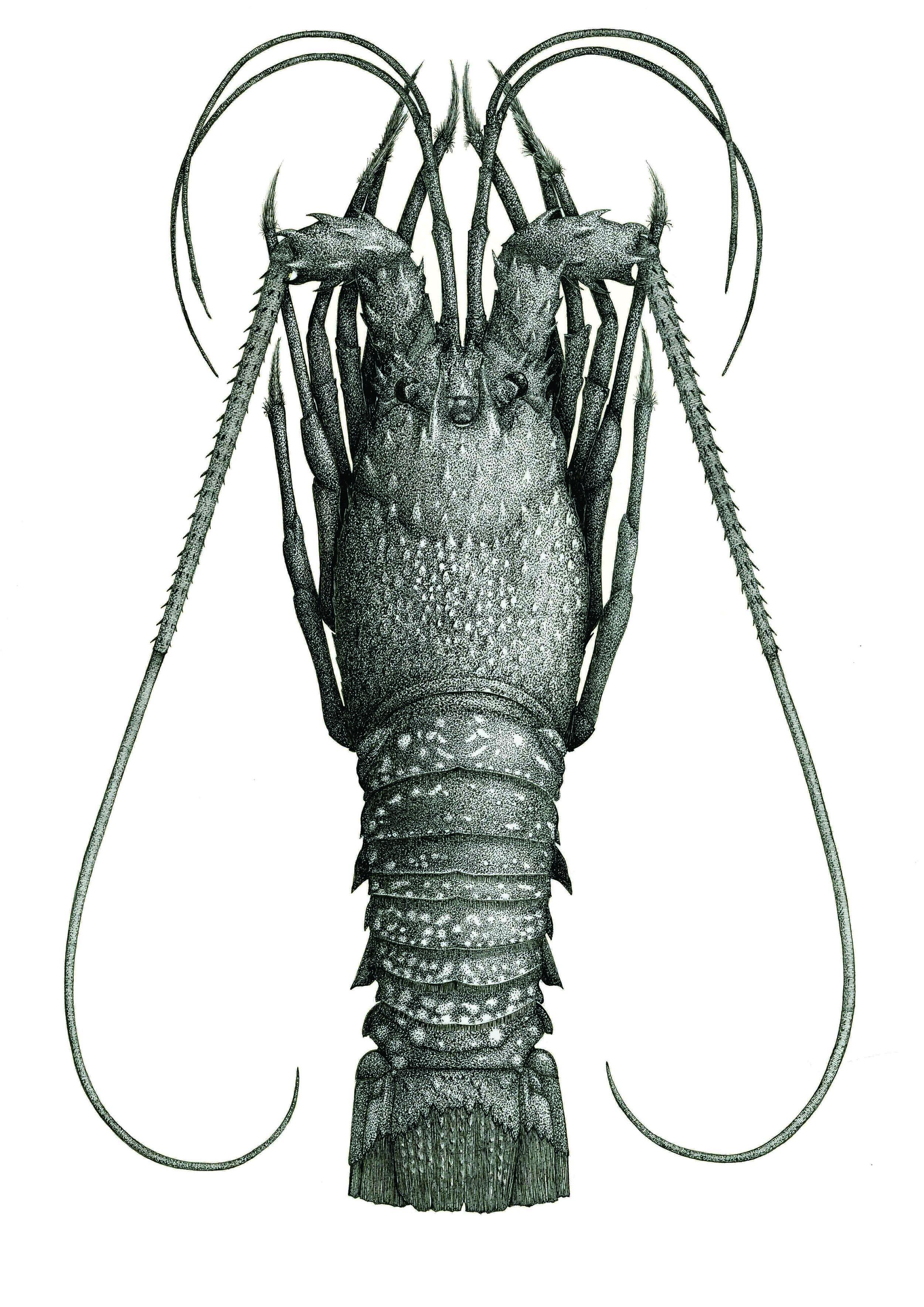 'Crayfish'