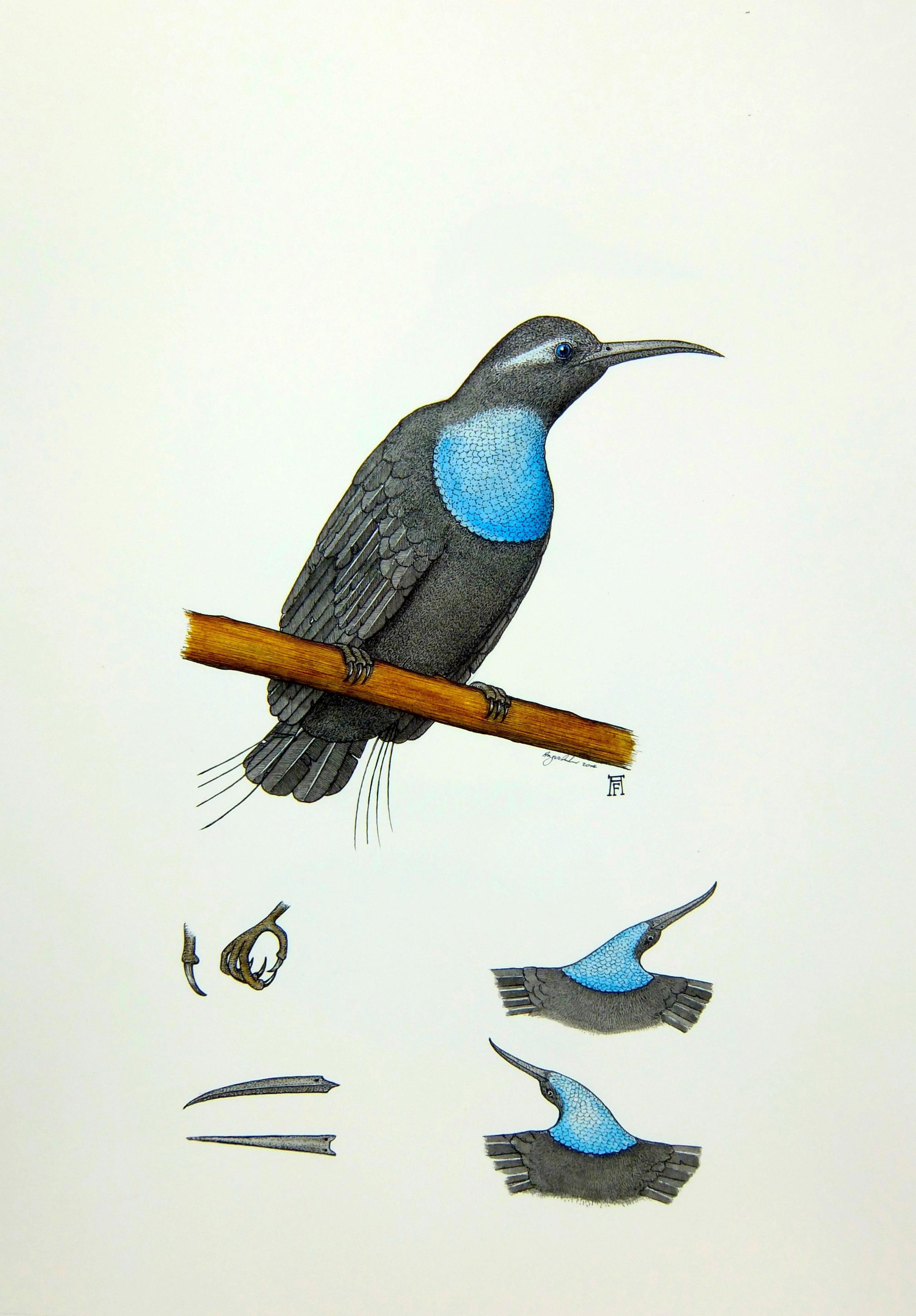 'Magnificent Riflebird'