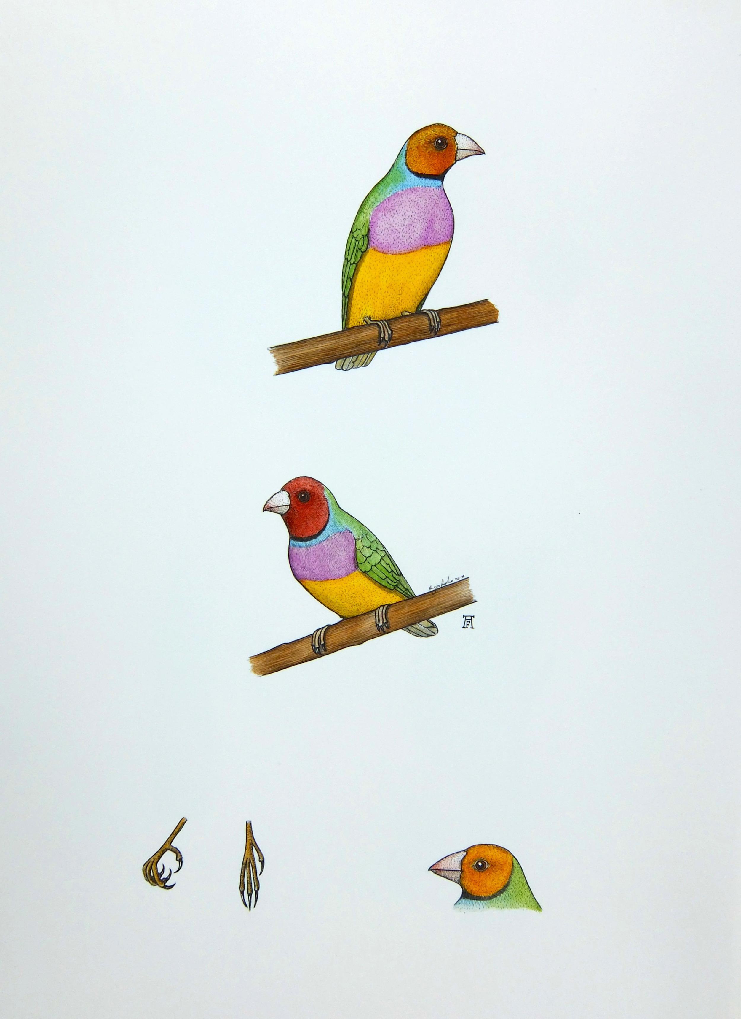 'Gouldian Finch'