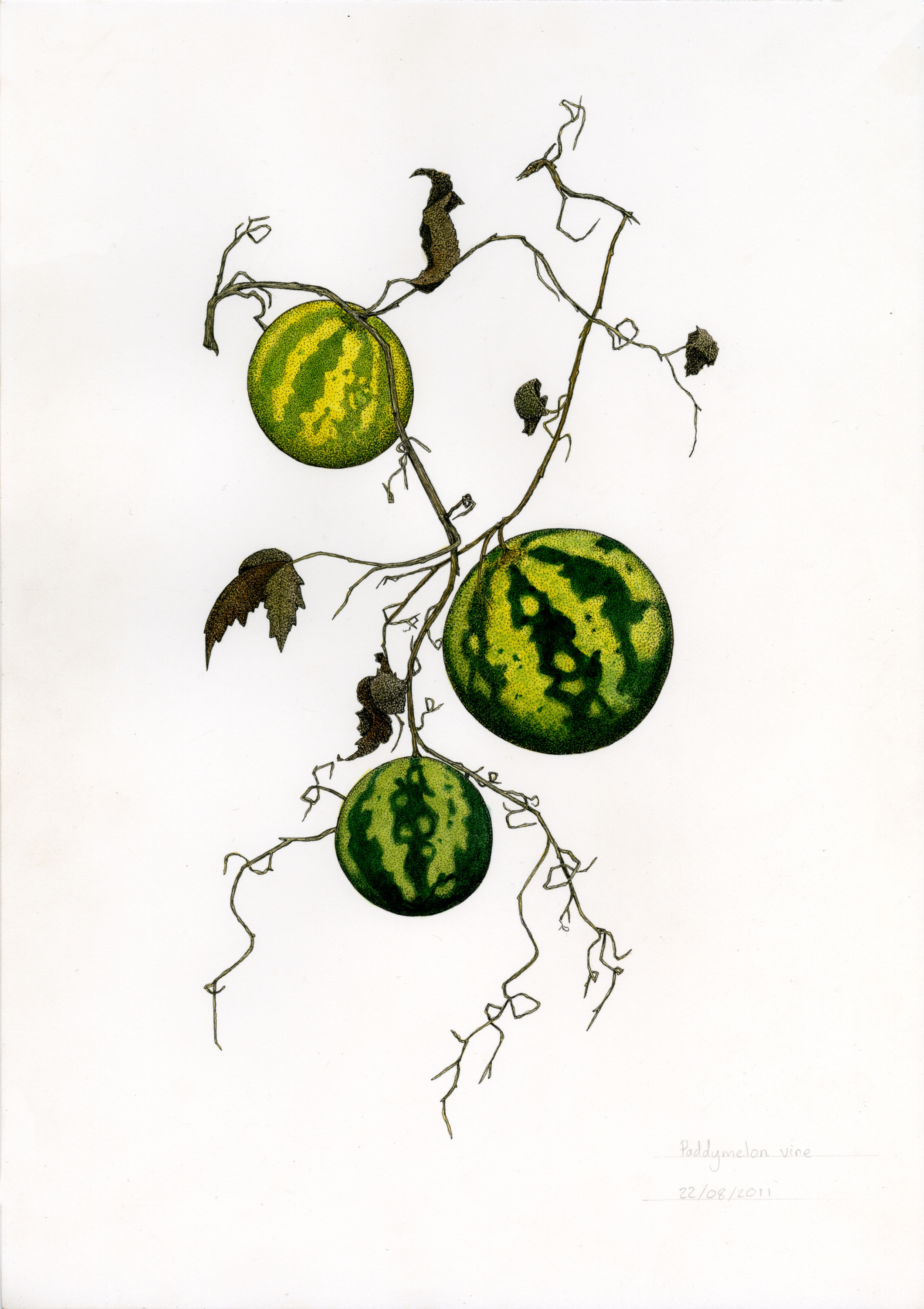 'Paddy Melon'