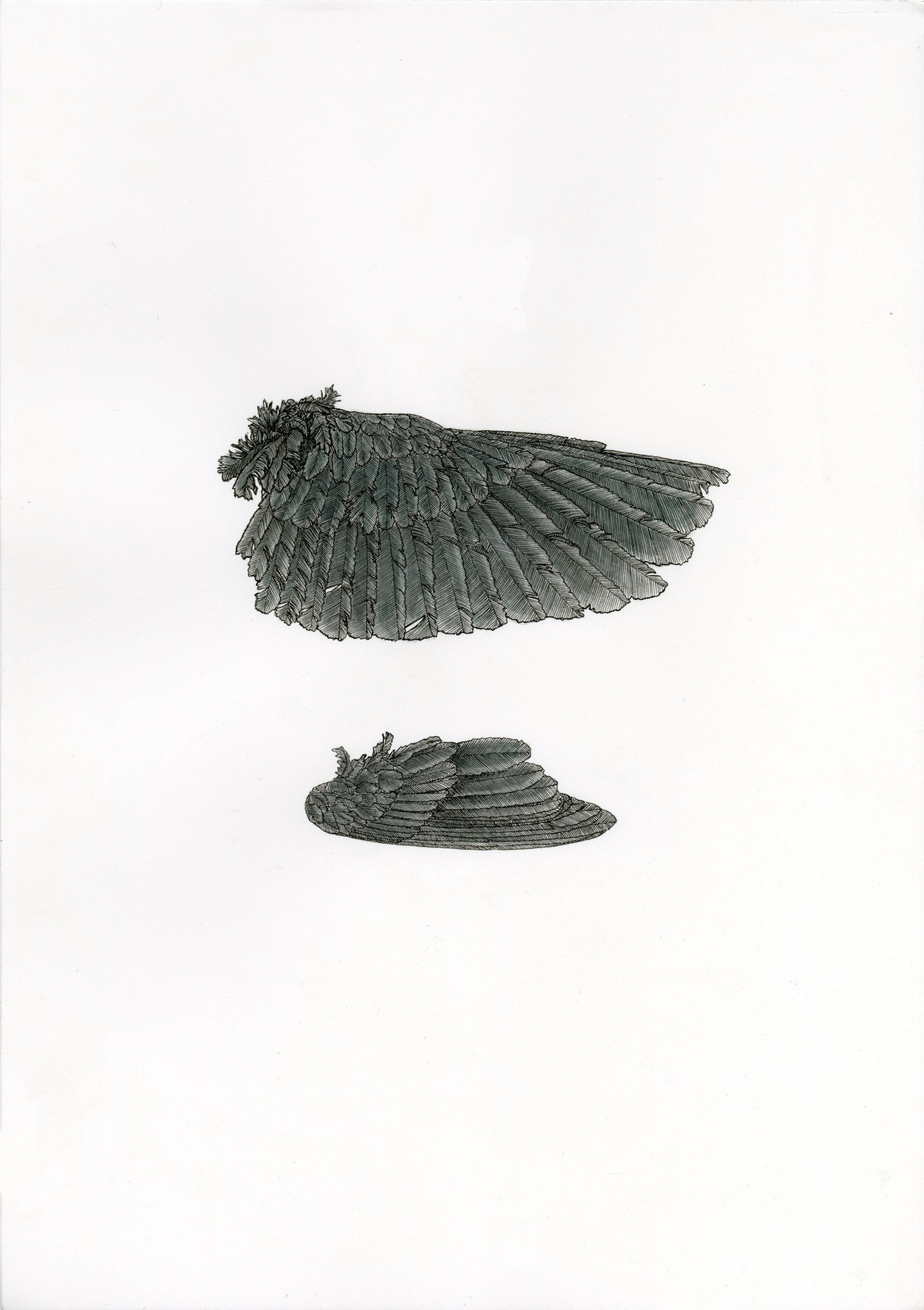 'Thrush Wing'