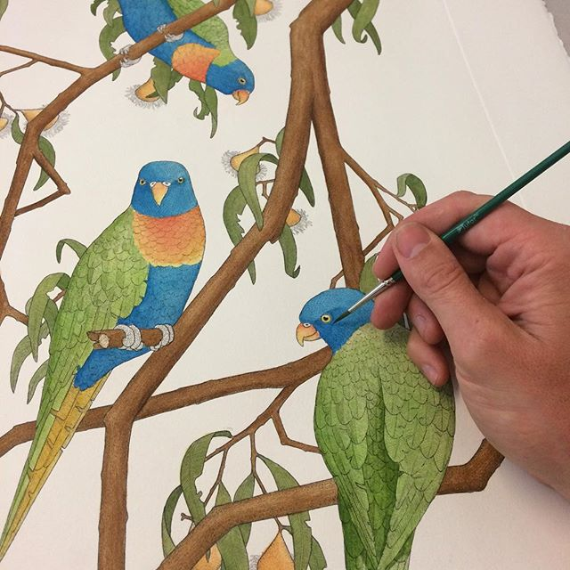 Hand colouring a 'Rainbow Lorikeet' etching with watercolour paints. Print is one of twenty-four from my recently completed 'Birds of New Holland' folio. #printmaking #print #etching #intaglio #handcoloured #lorikeet #rainbowlorikeet  #bird #sydneybirds #birdsofsydney #birdsofnewholland #art #fineart #paint #painting #watercolour #watercolor #angusfisher