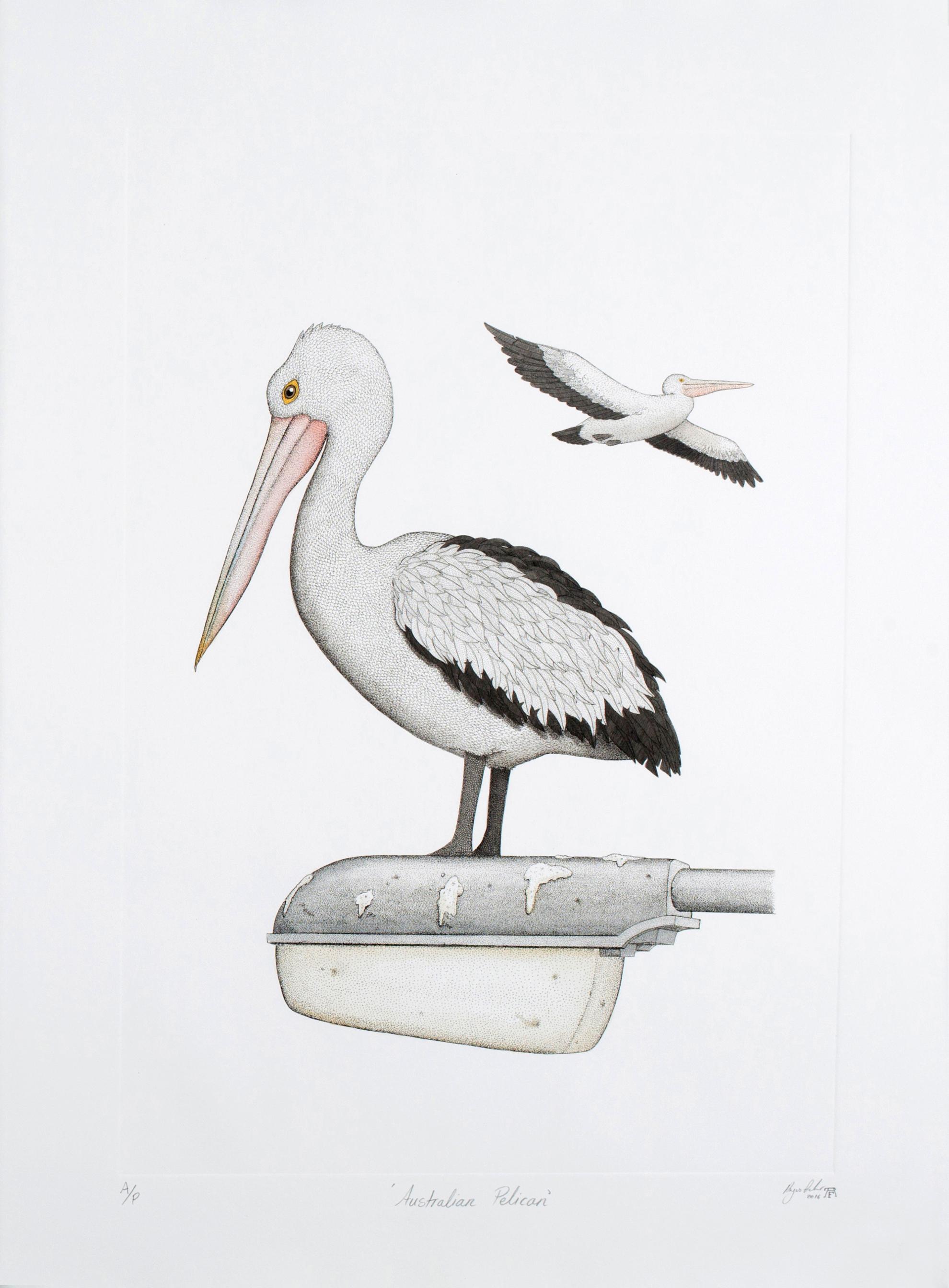 'Australian Pelican'