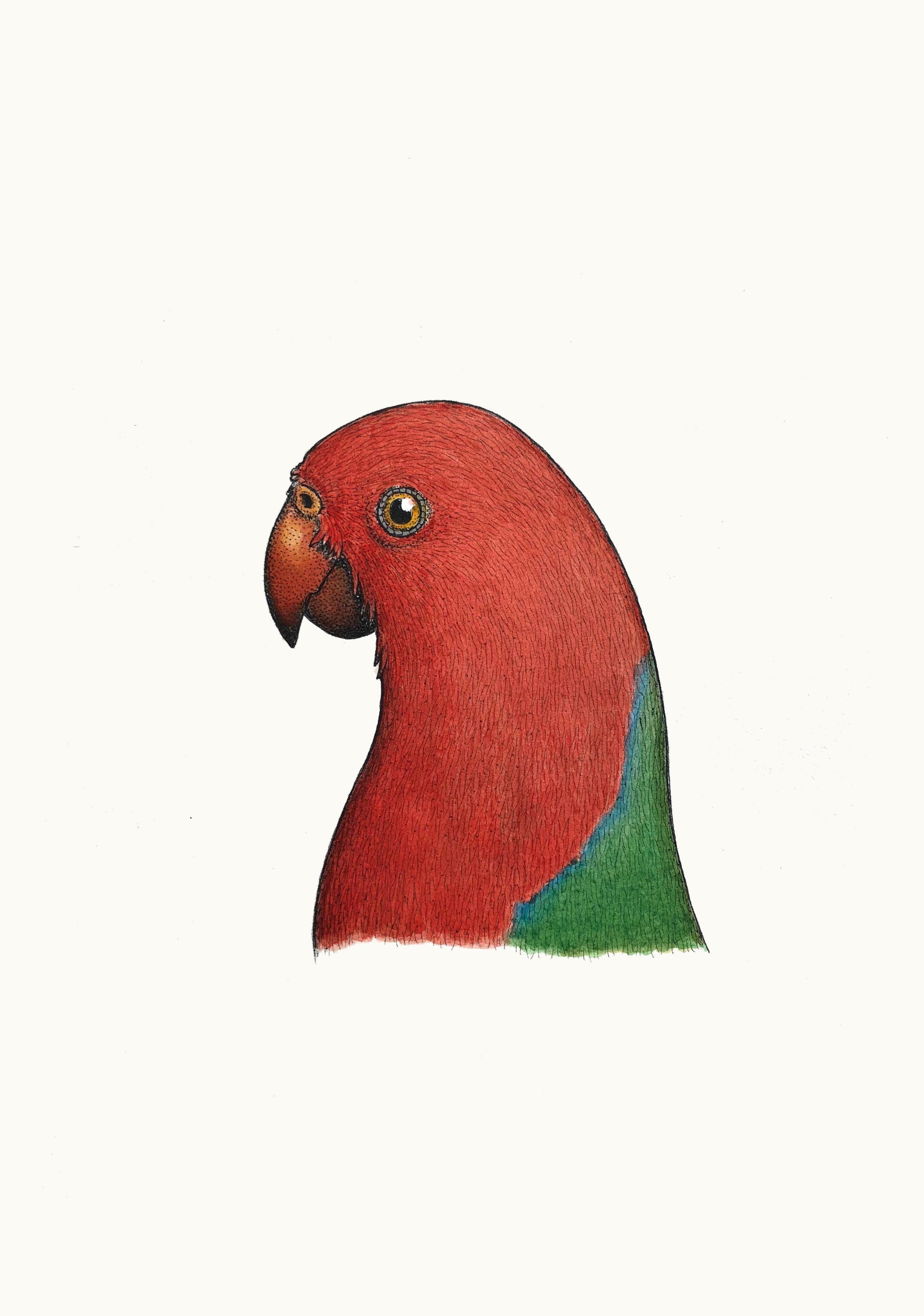 'Portrait of a King Parrot'