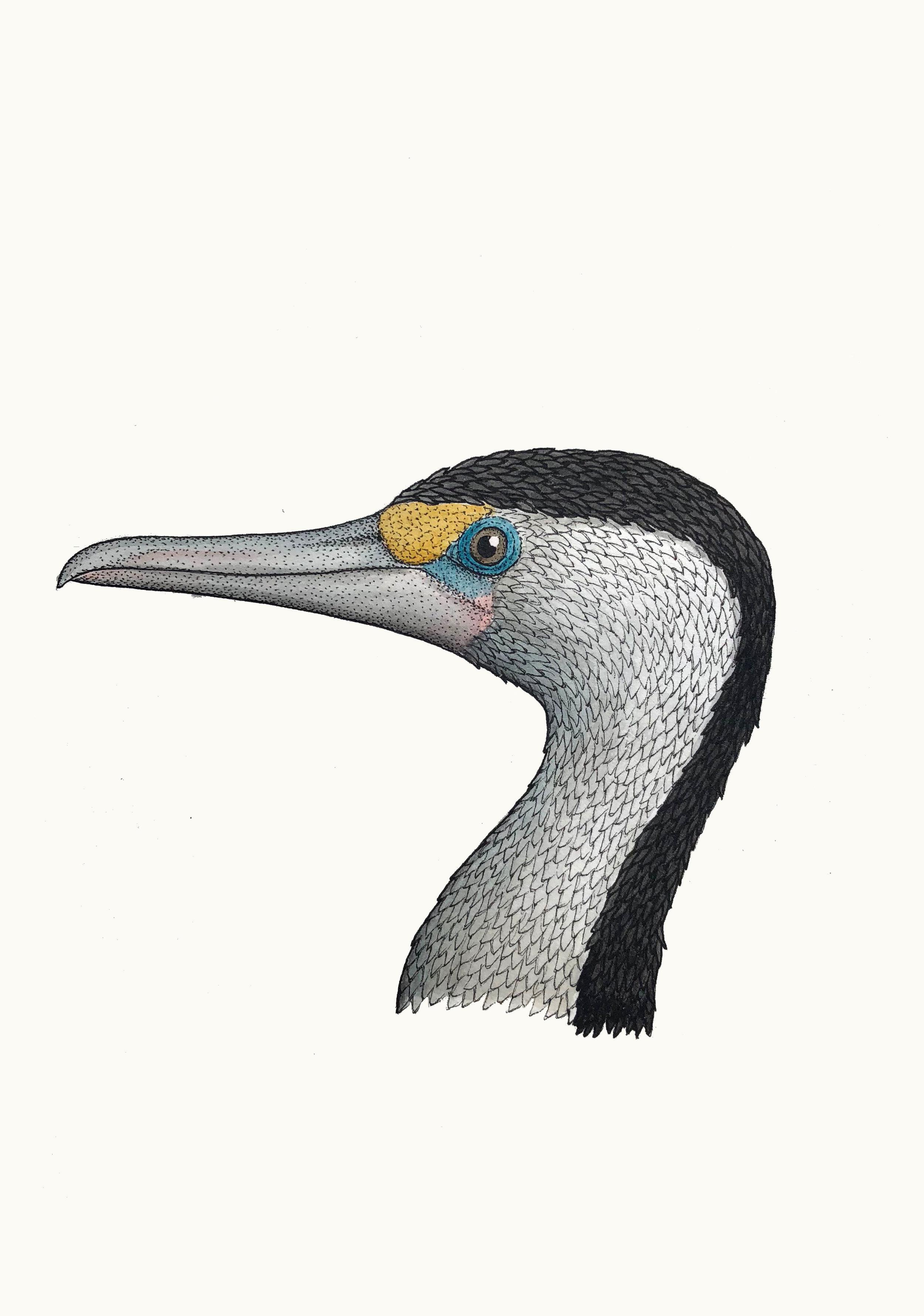 'Portrait of a Pied Cormorant'