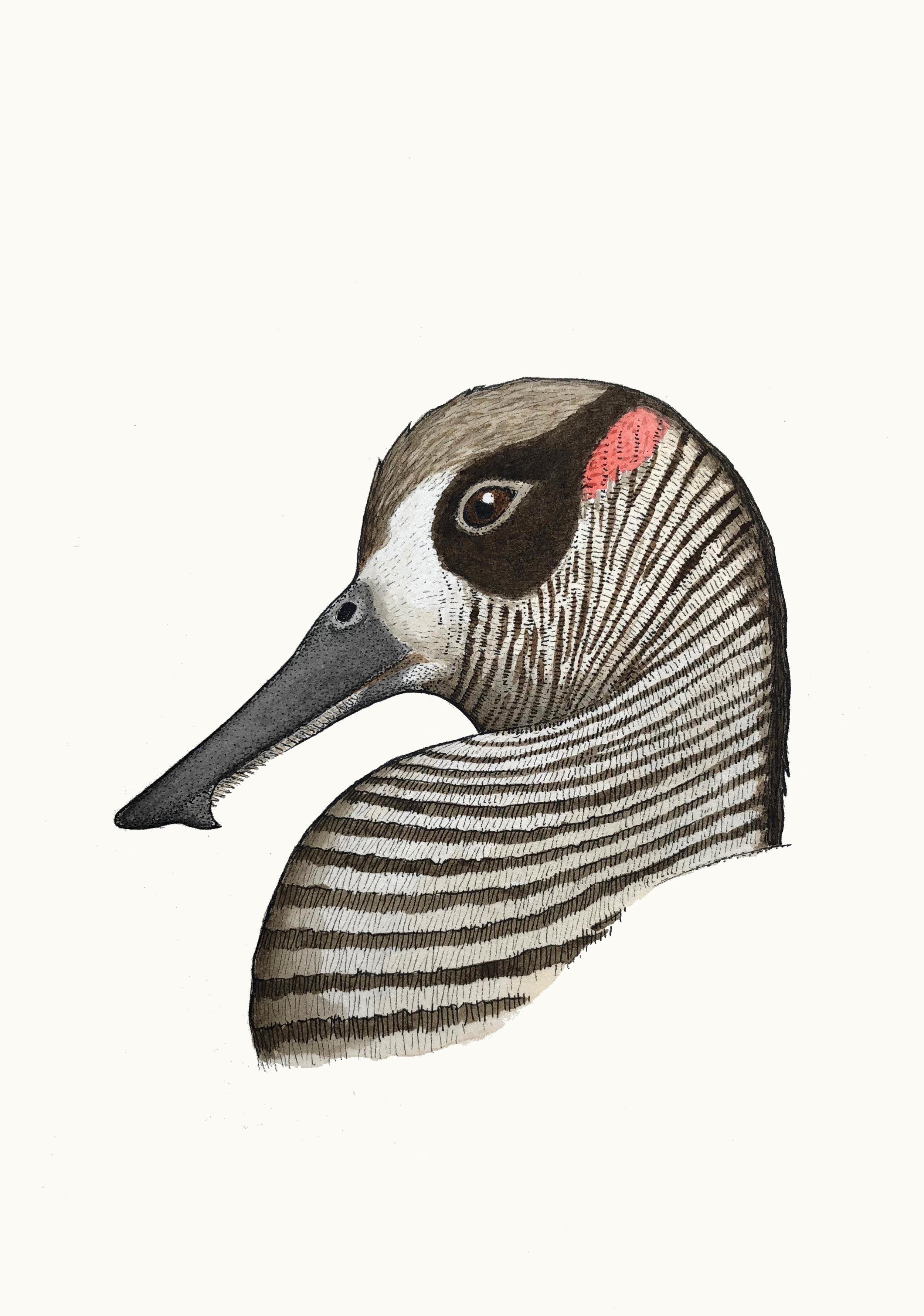 'Portrait of a Pink-eared Duck'