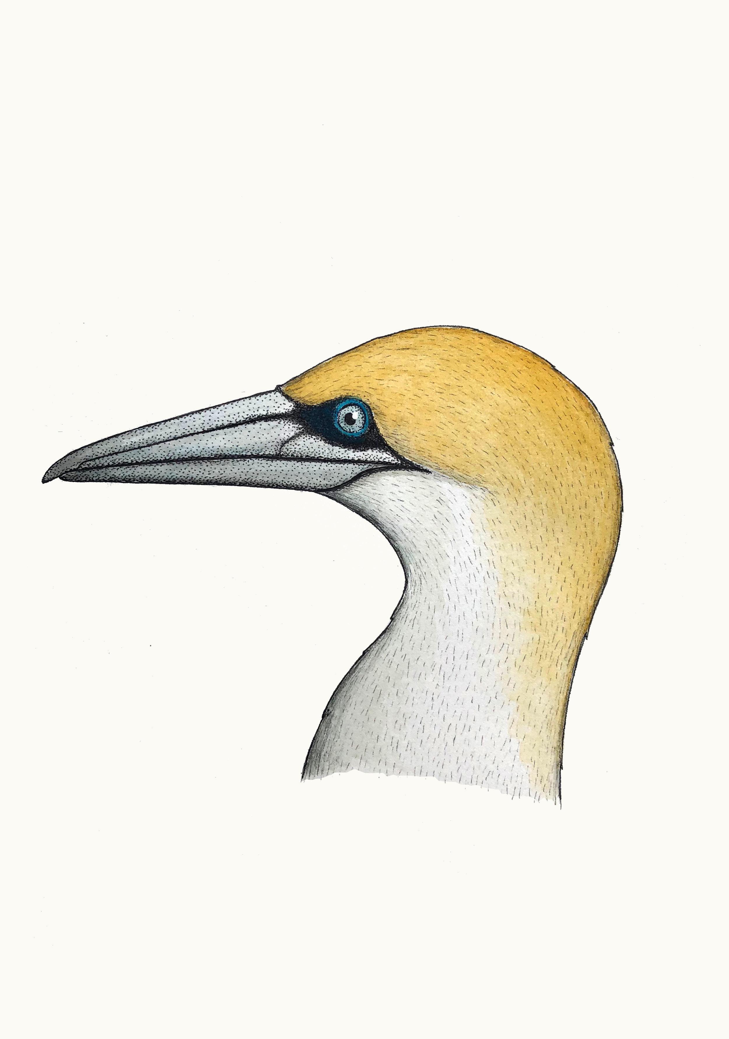 'Portrait of an Australasian Gannet'