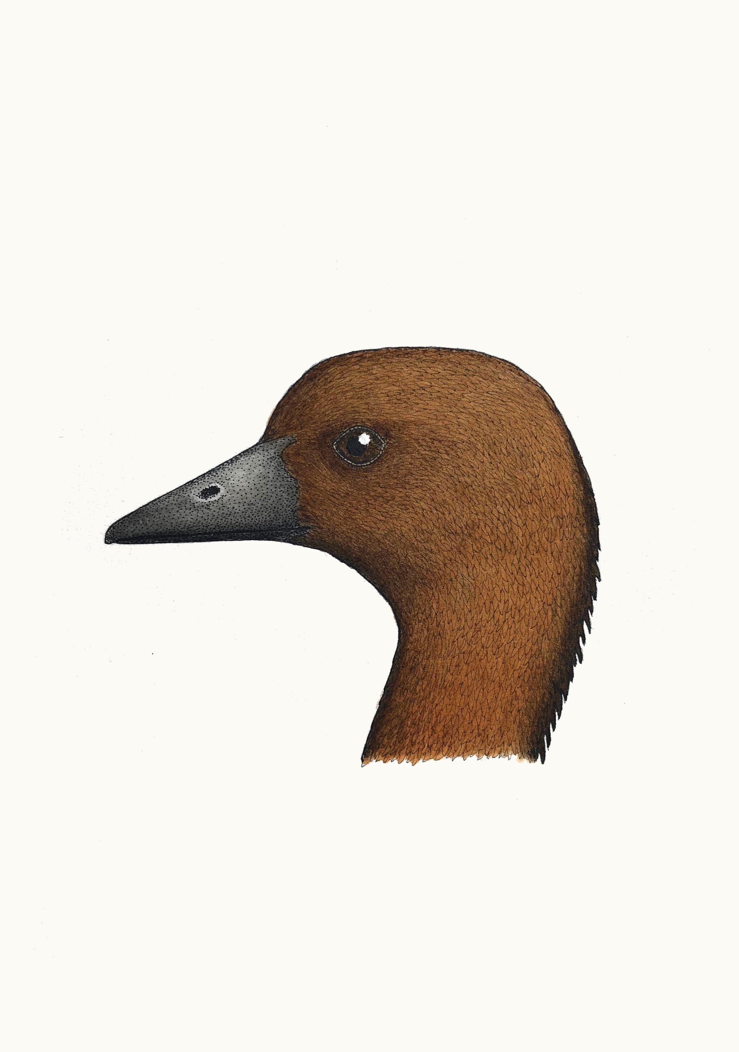 'Portrait of an Australian Wood Duck'