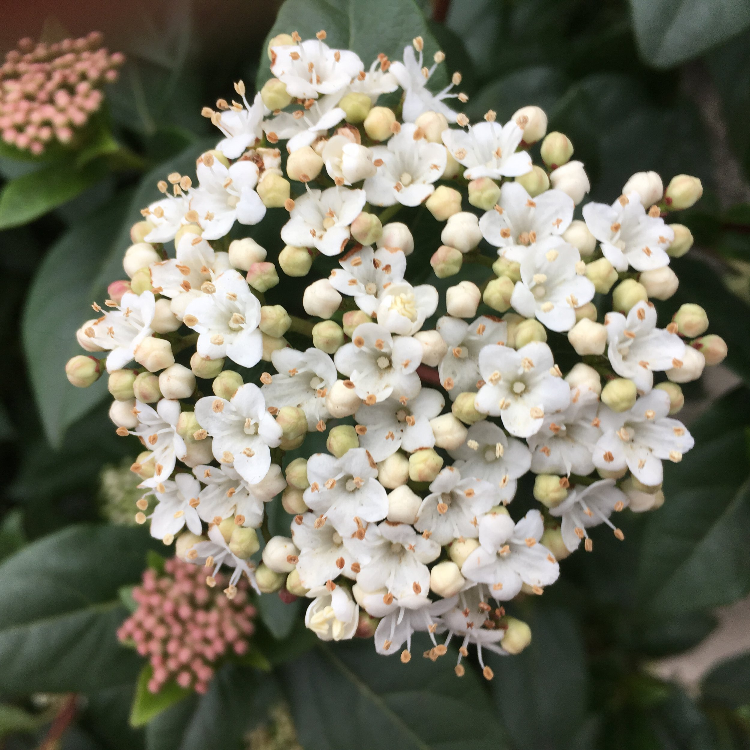 This Viburnum shrub has beautiful posy like clusters. Delicate and romantic.