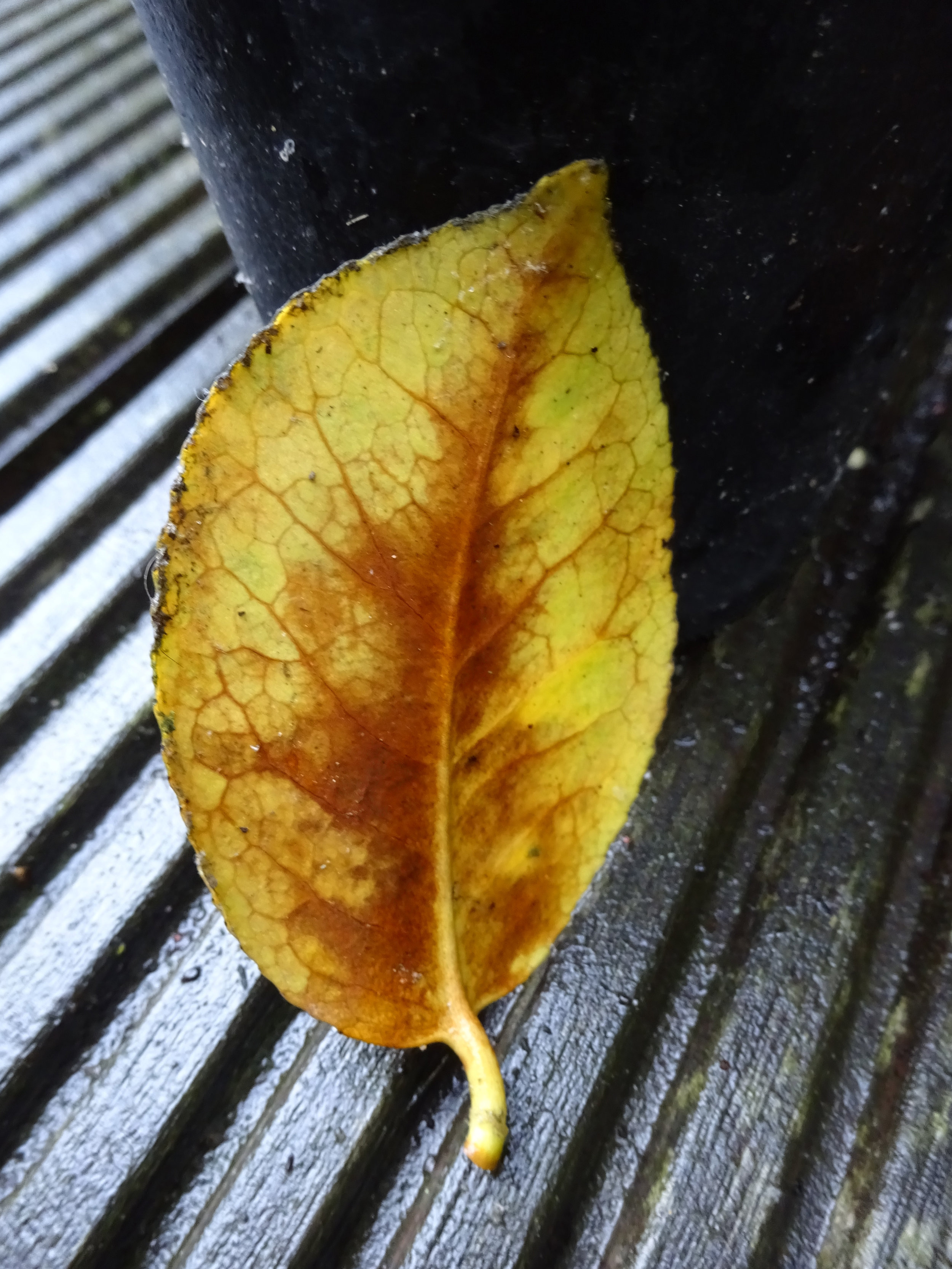 I took this photo with my Camera rather than my phone. I should do this more often as it looks a lot better. The contrast of light and dark between the yellow leaf and decking is quite stunning.