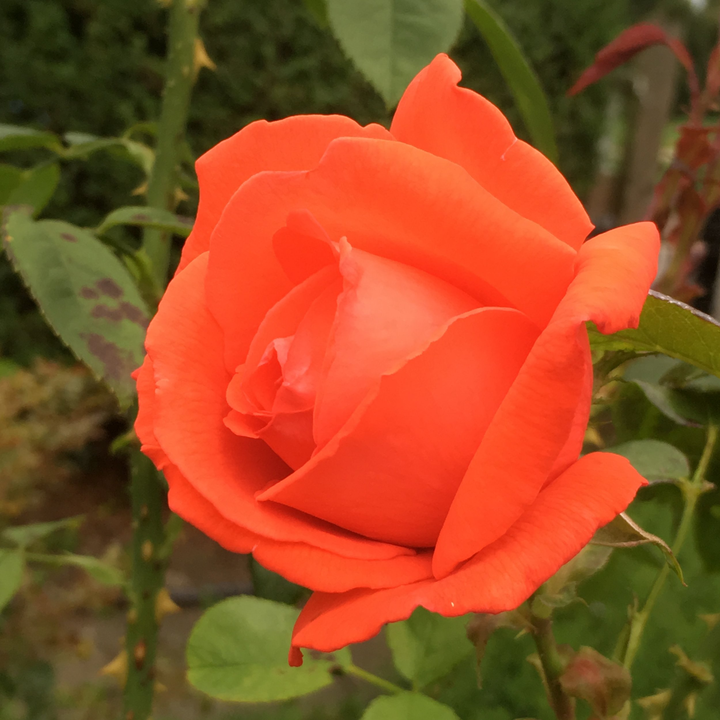 An orange coloured rose is not the first colour I think of when I imagine a Rose but this one points out that there are many more verieties and colours than you may think.