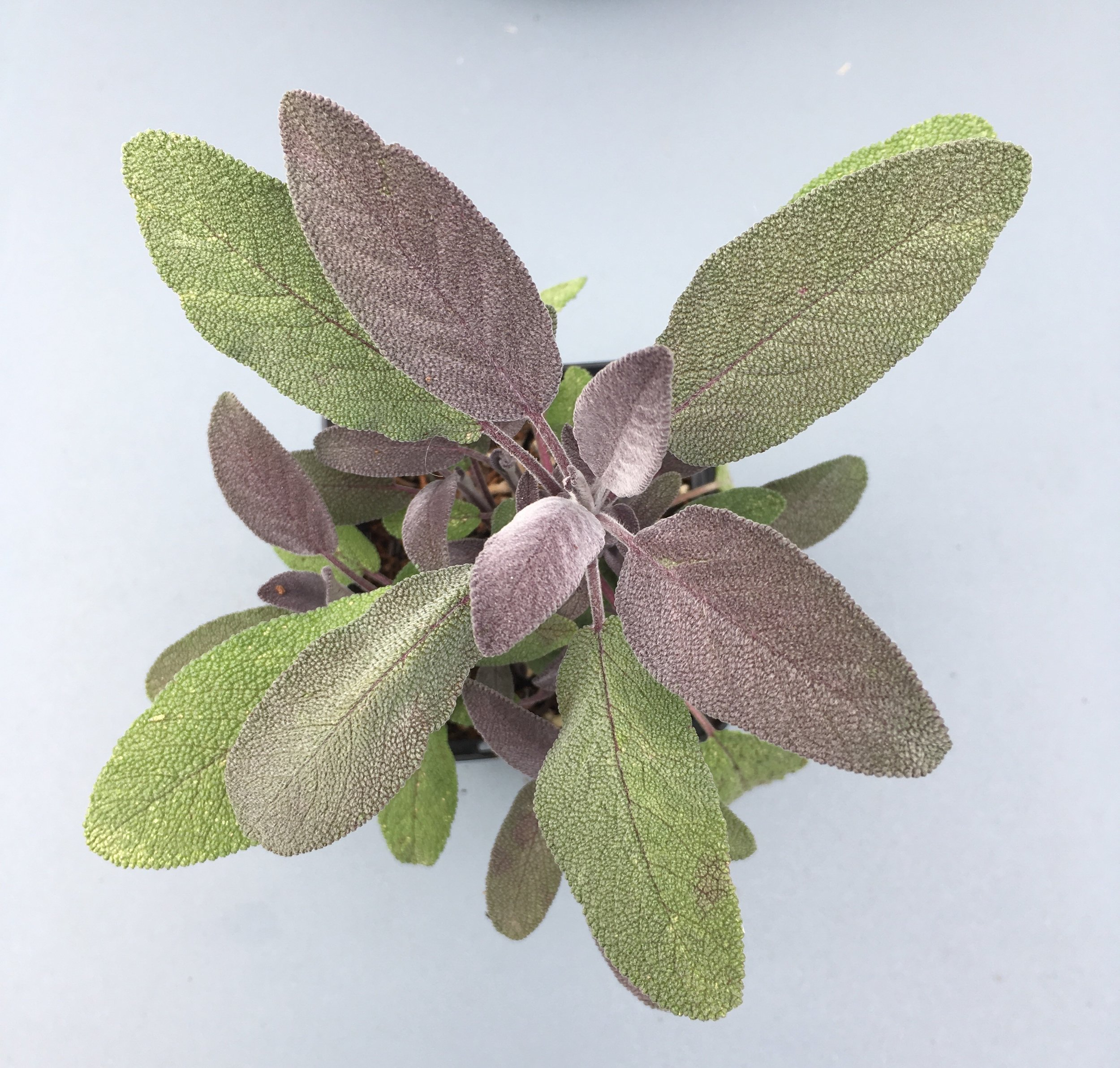 A Sage plant that James created from a cutting.