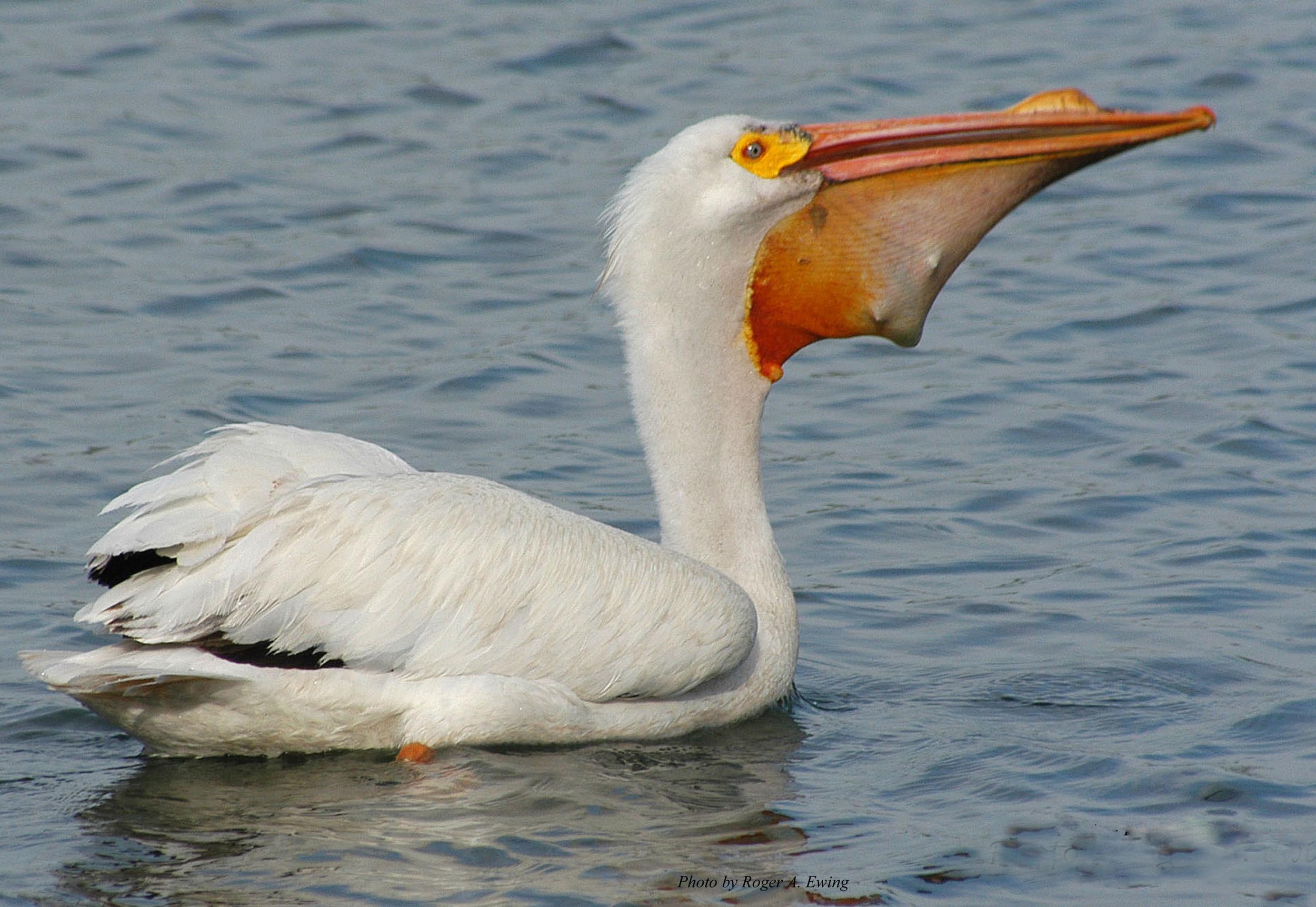 Pelican-BEST-1-edited.jpg