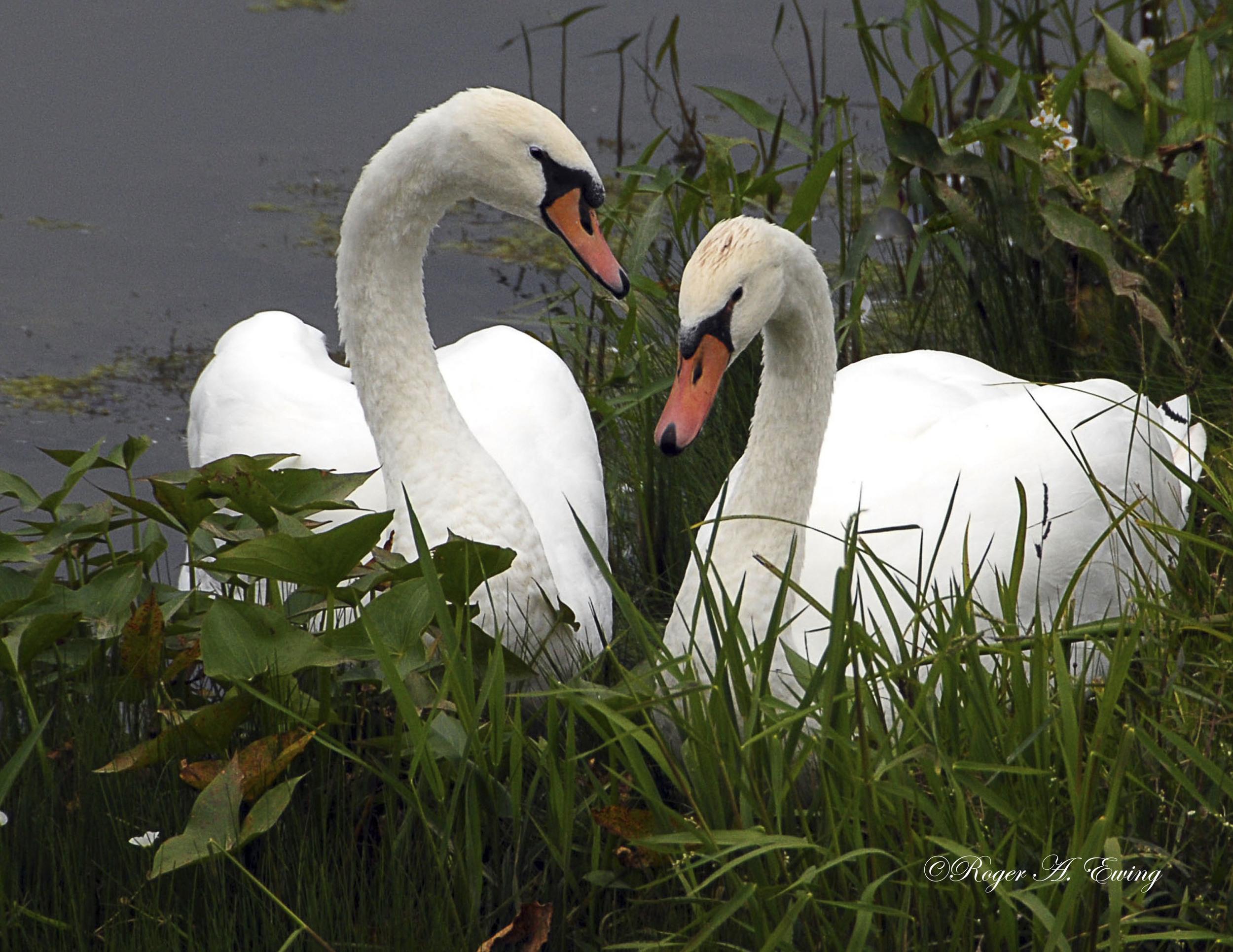 8-11 Swans very good-Print.jpg