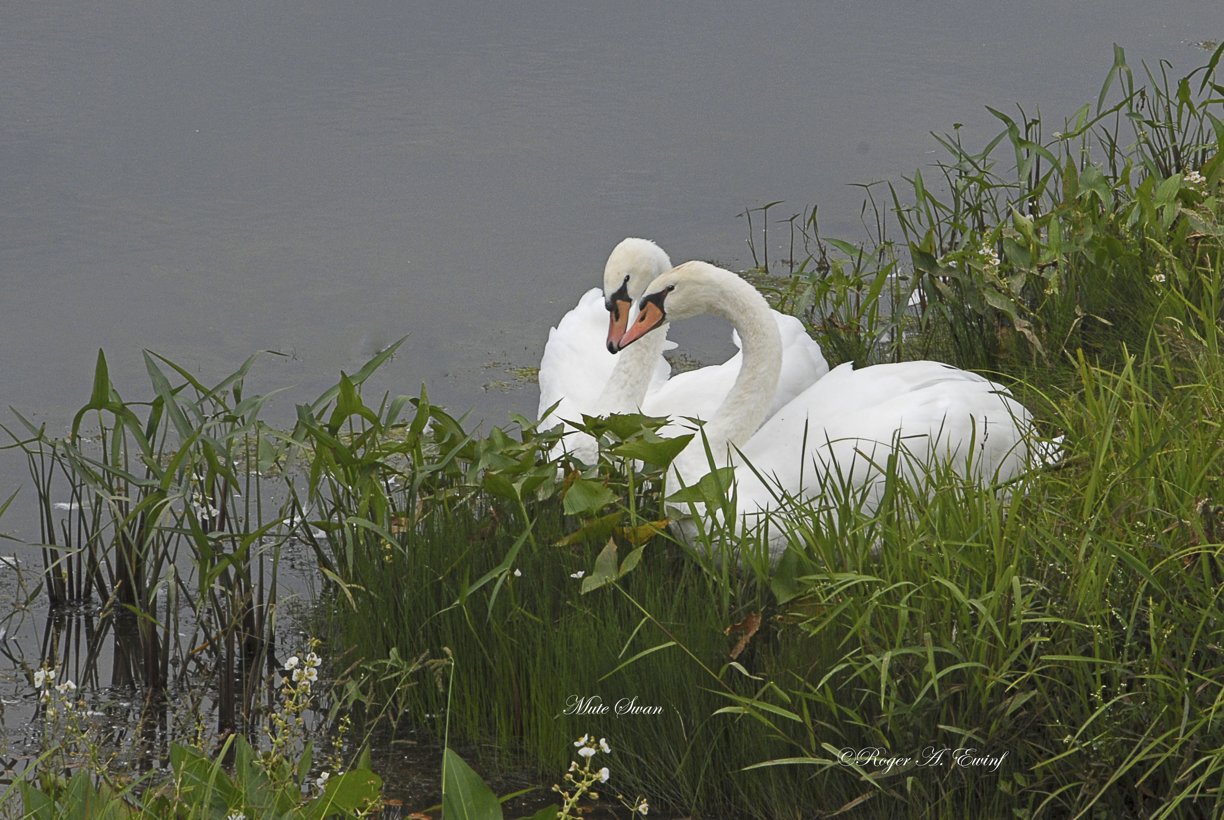 Swans kissing-5-19 by 13 copy.jpg