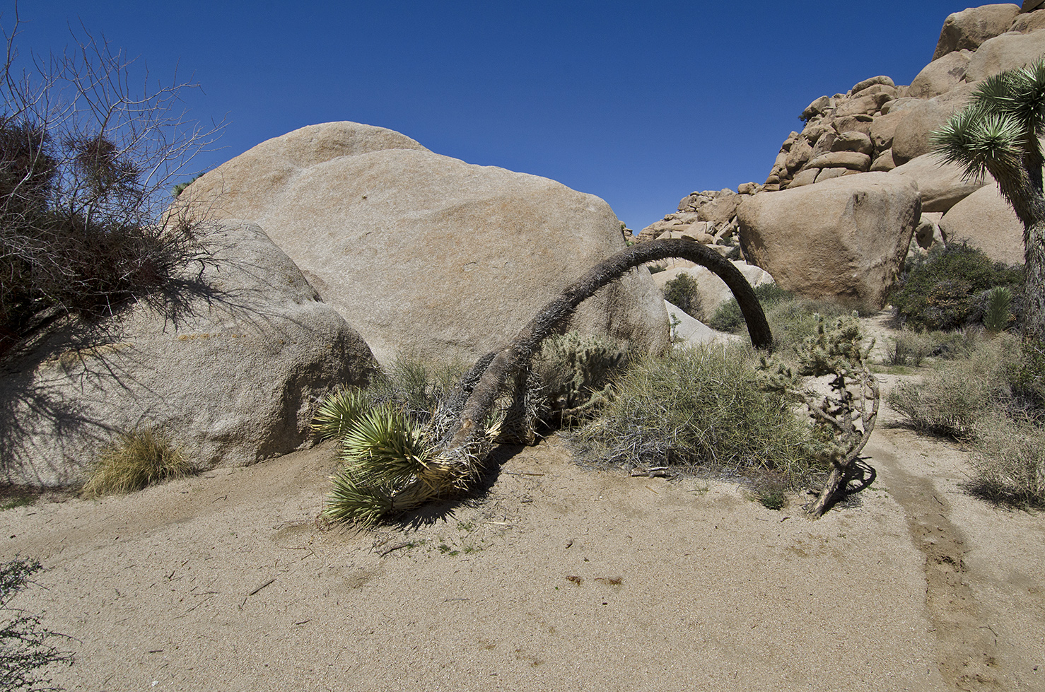 Sometimes, even the Joshua Trees need a rest.