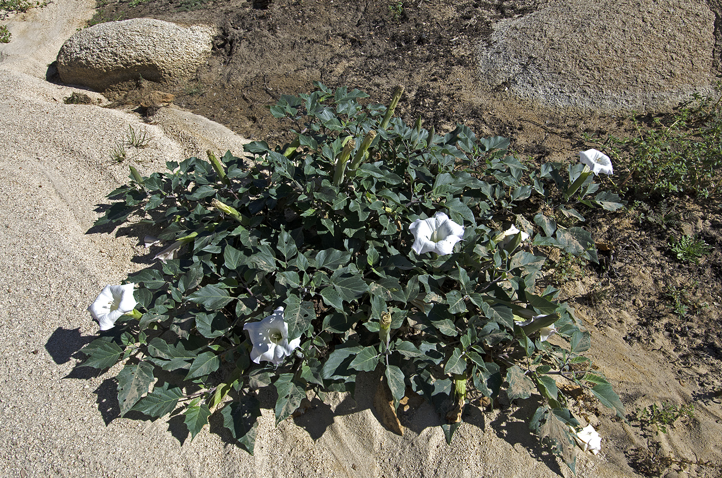 "Datura was everywhere. The trumpet shaped flowers are easy to spot. It's also known as ""jimsonweed."""