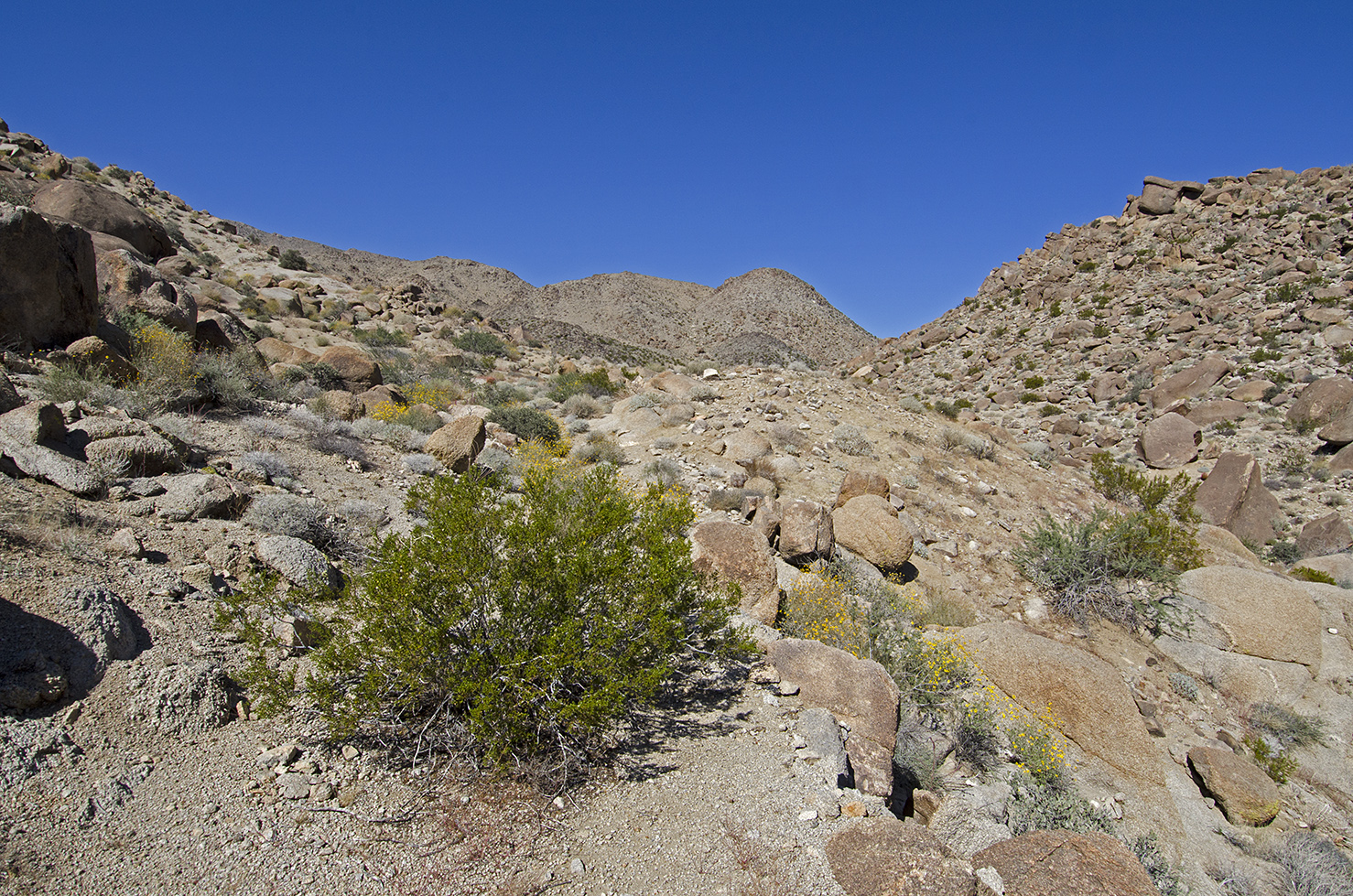 This creosote bush has no problem taking up the whole trail.