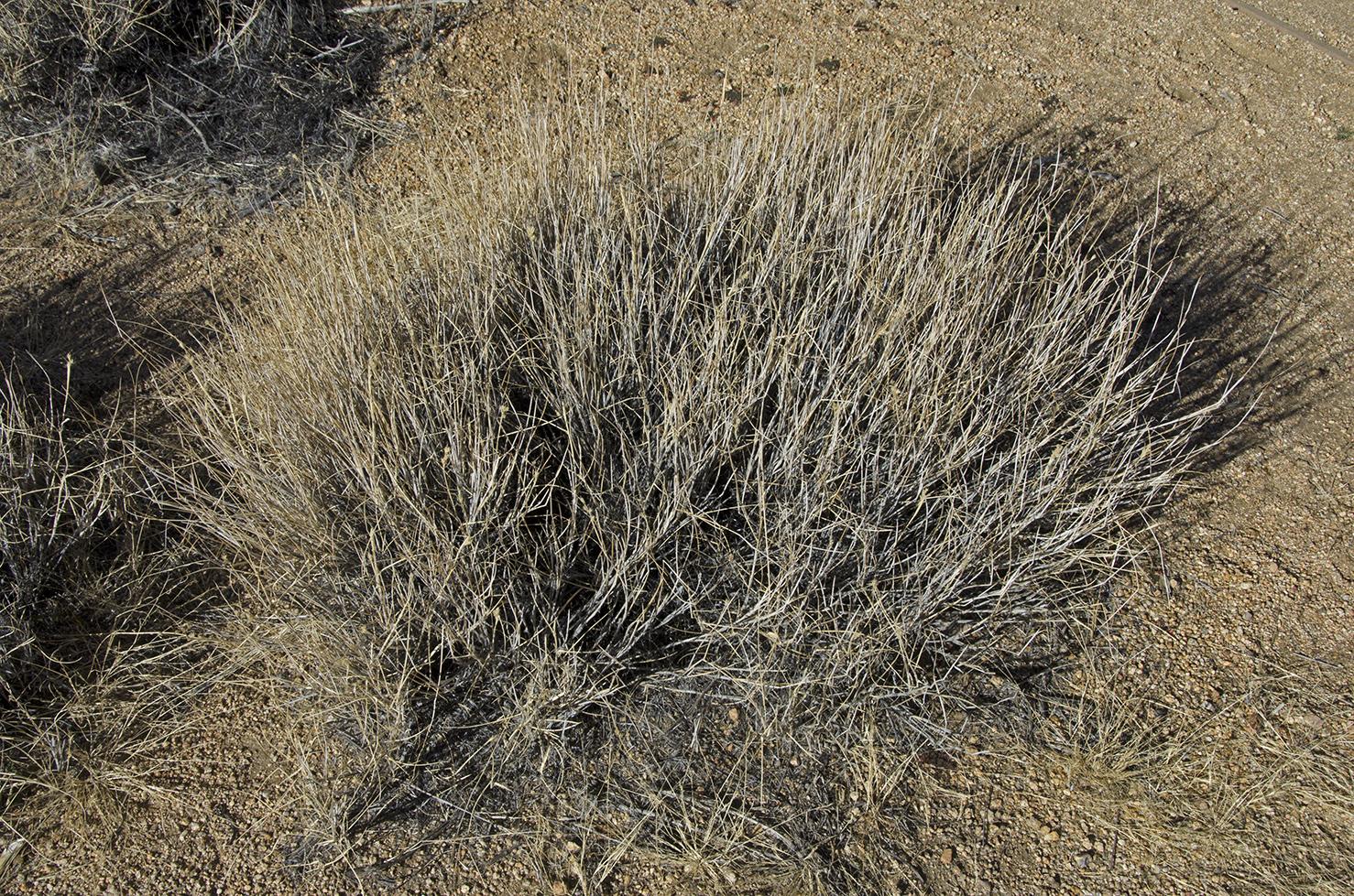 Galleta Grass