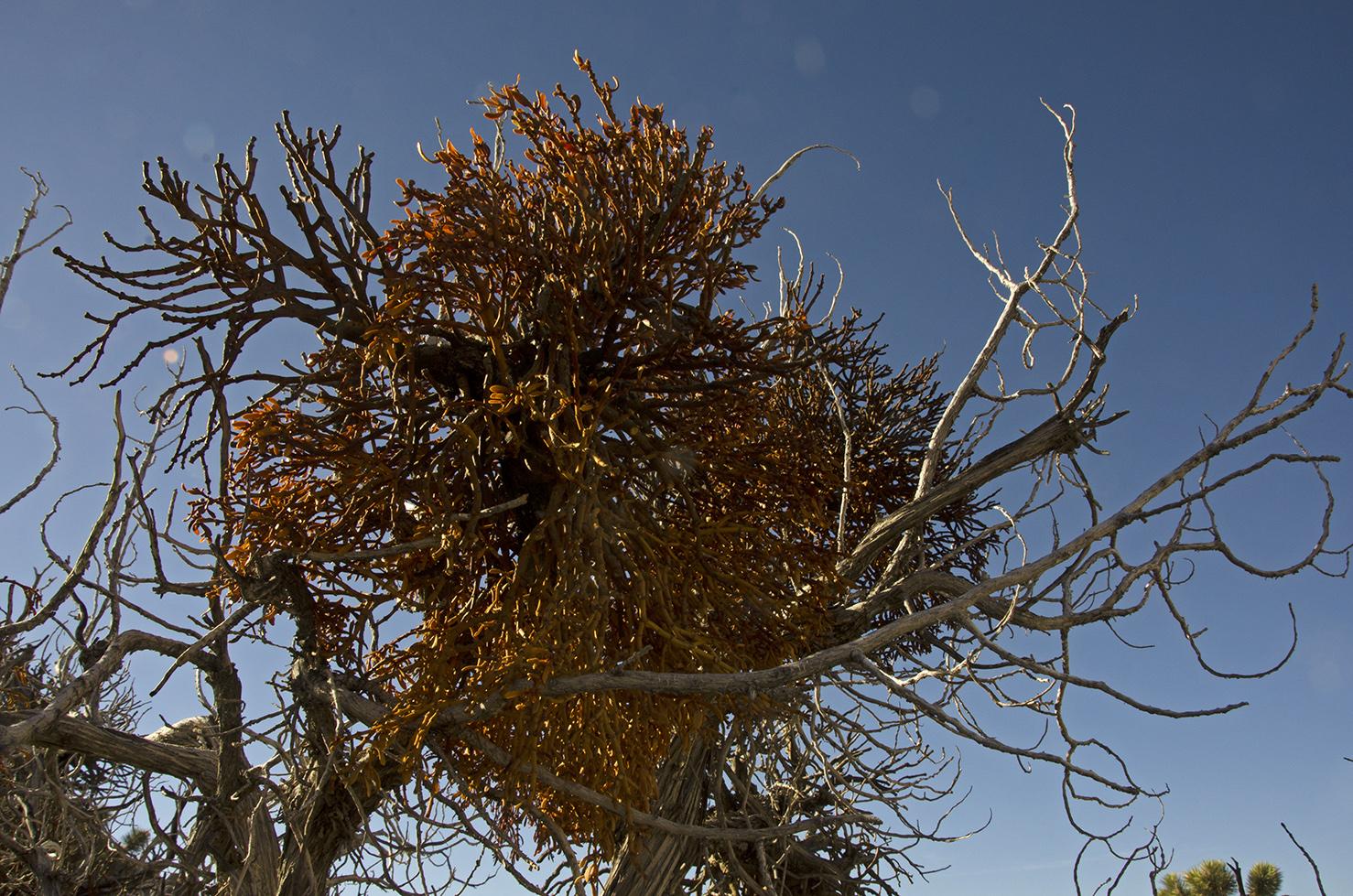 Juniper with Mistletoe
