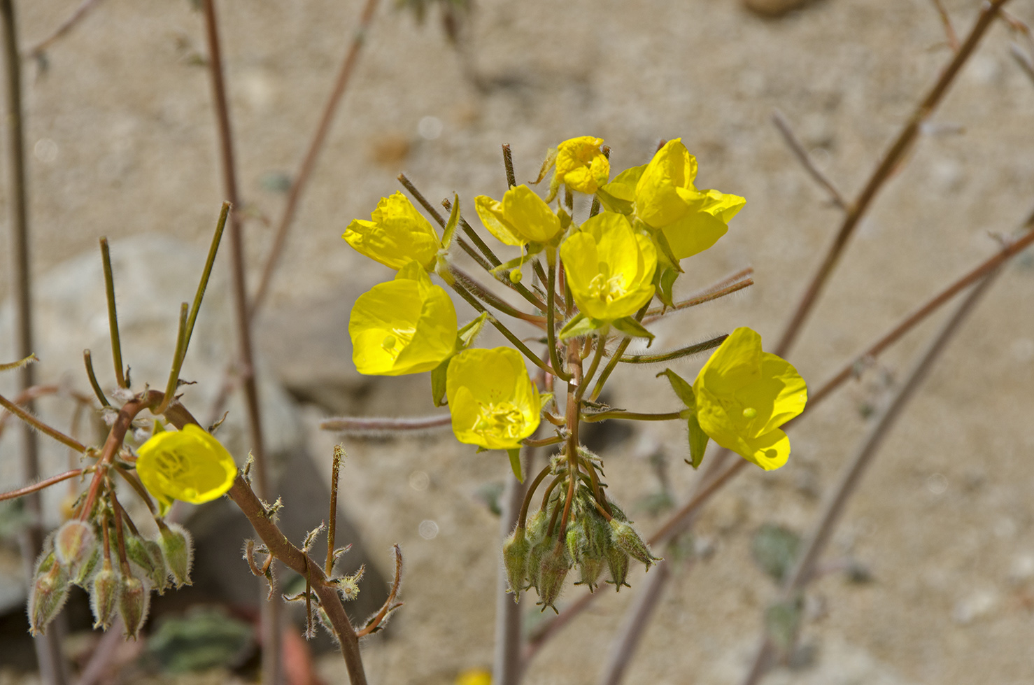 Yellow Cups, part of the Evening Primrose Family.