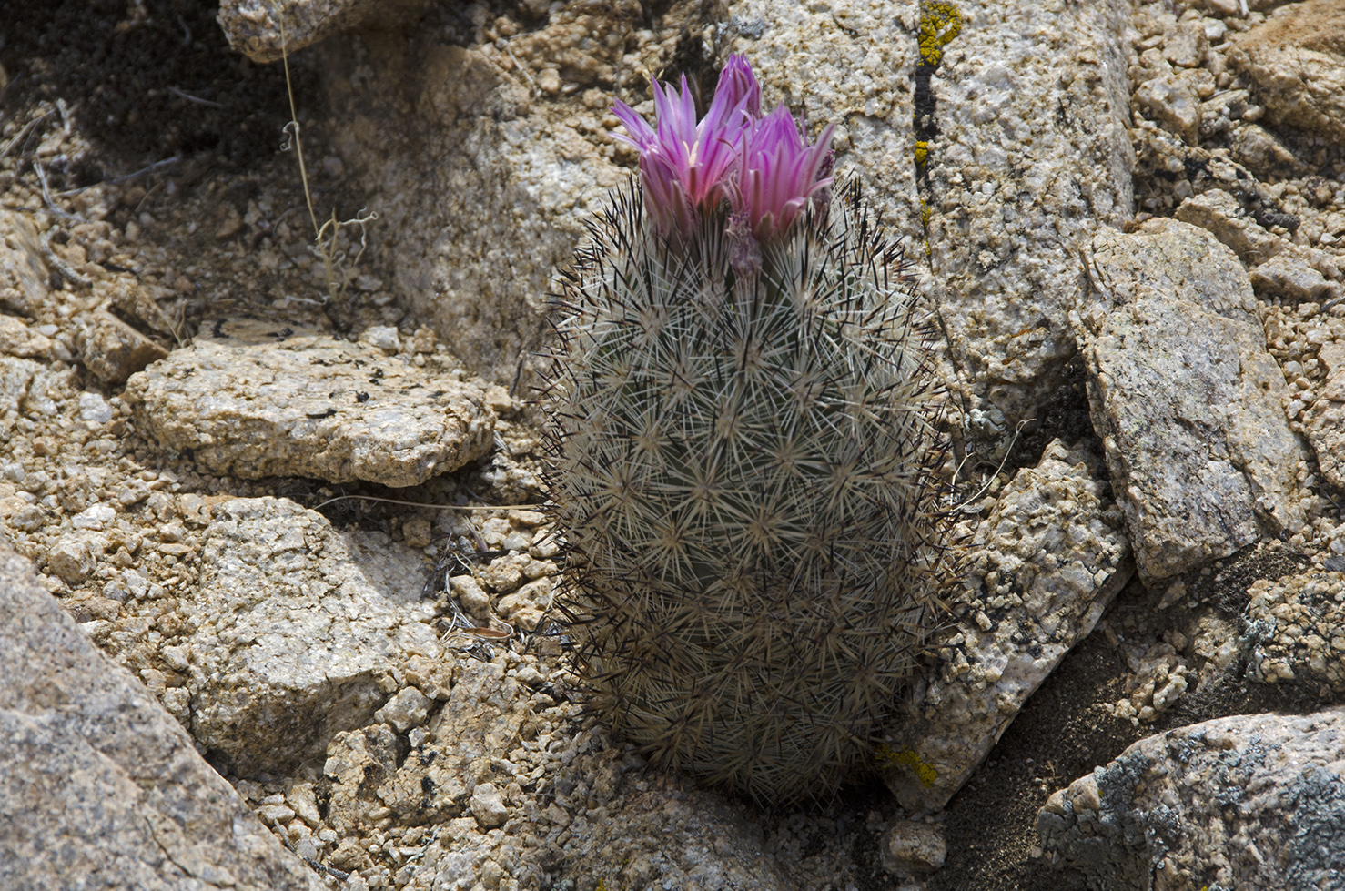 Desert Foxtail Cactus. Flowers can be yellow, yellow-green, or tinged pink.