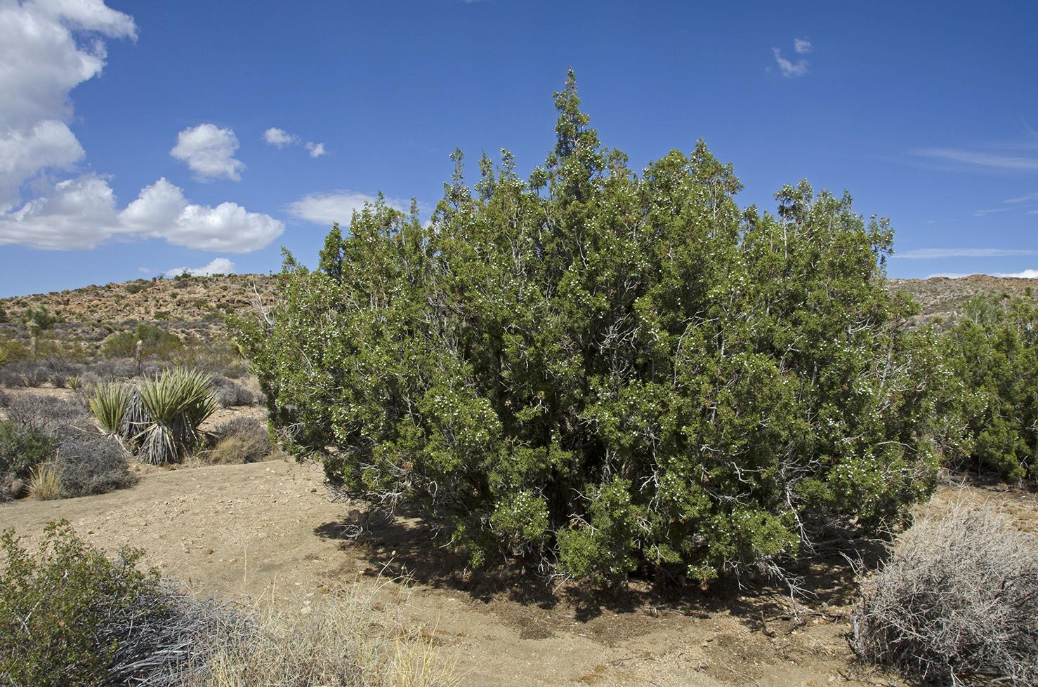 A large Juniper Tree