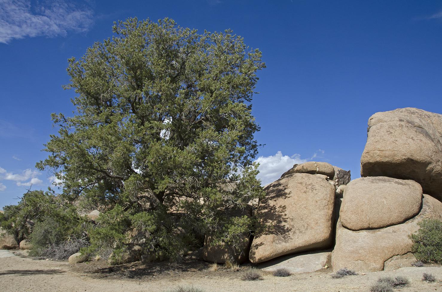 The largest Pinyon pine at Pine City.