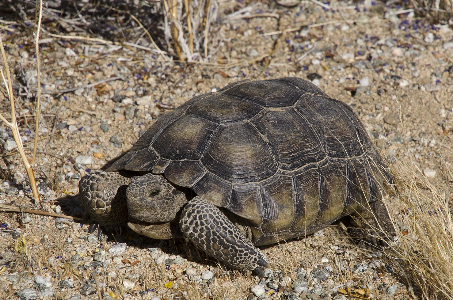 Joshua Tree National Park 001 Desert Tortoise.jpg