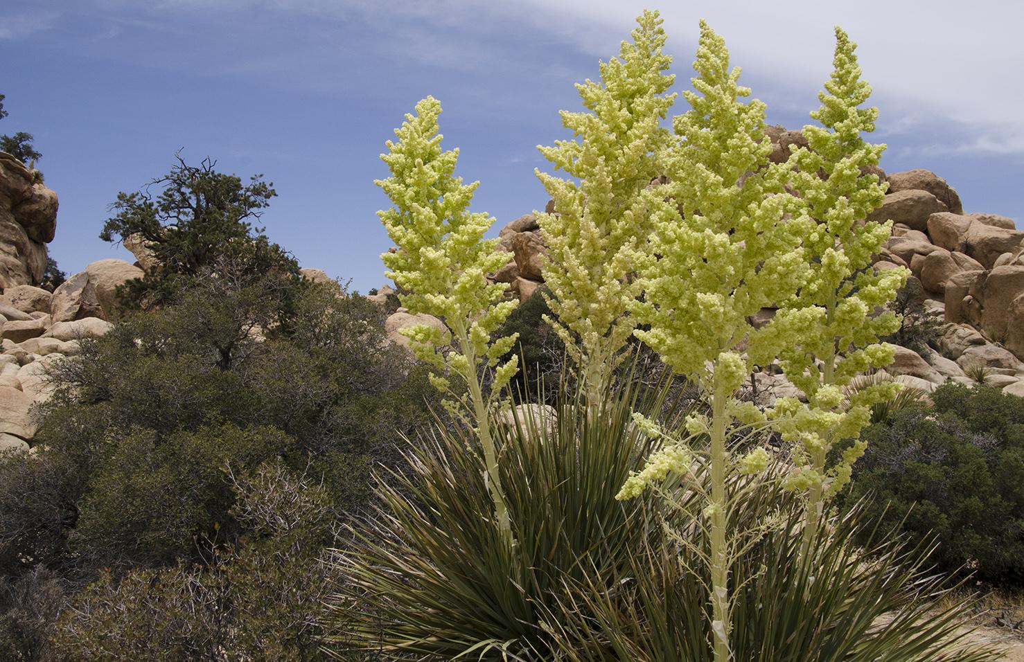 Joshua Tree National Park 033 Nolina Blooms.jpg