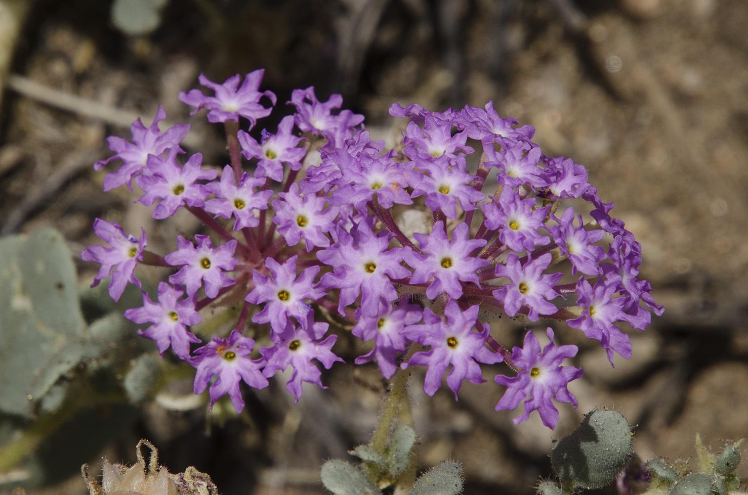 Joshua Tree National Park 018 Purple Wildflowers.jpg