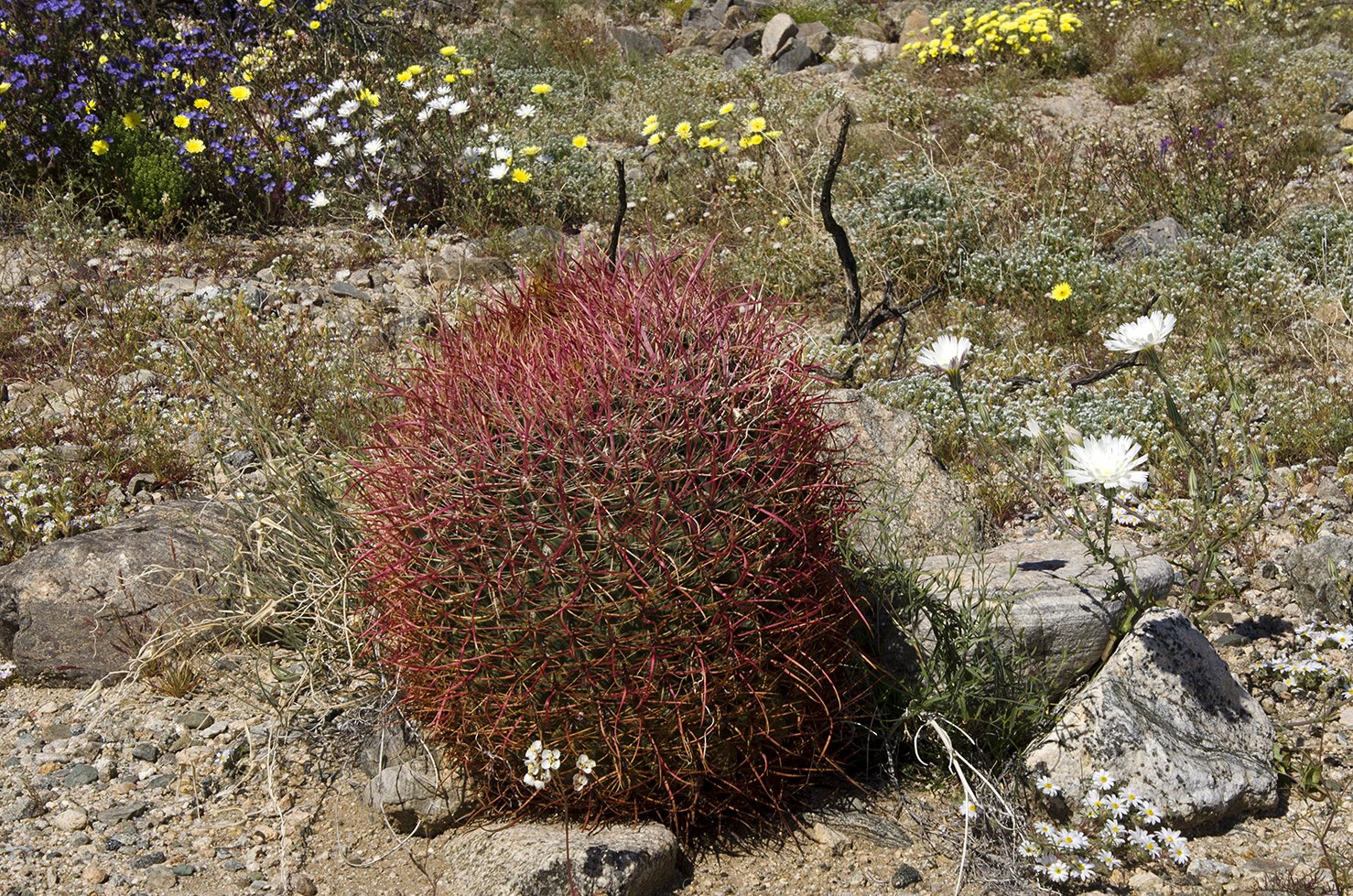 Joshua Tree National Park Wildflowers 07.jpg