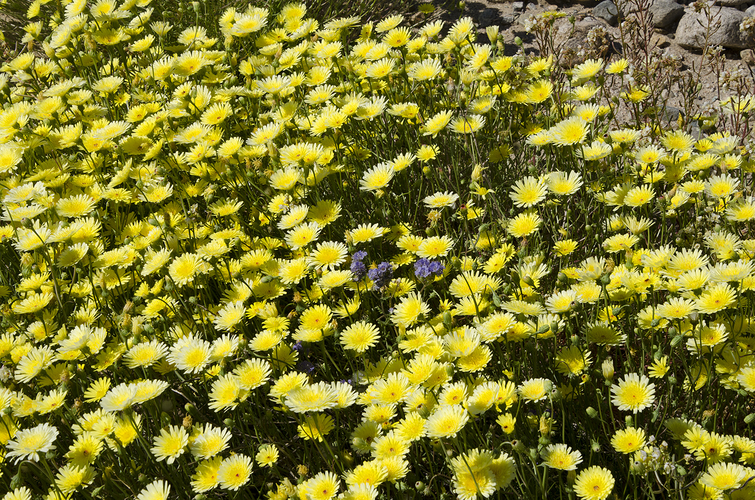 Joshua Tree National Park Wildflowers 52.jpg