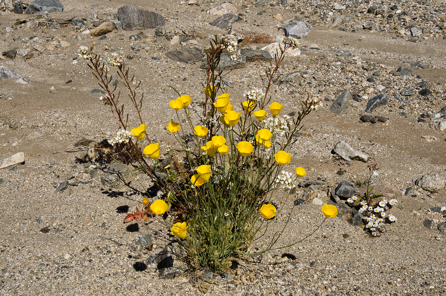 Joshua Tree National Park Wildflowers 53.jpg