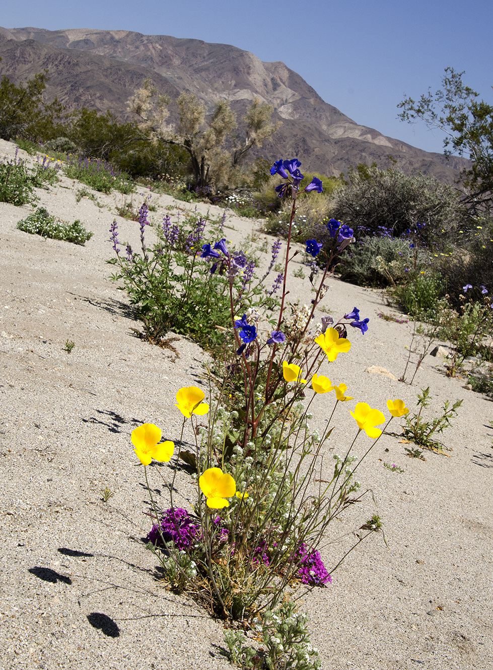 Joshua Tree National Park Wildflowers 14.jpg