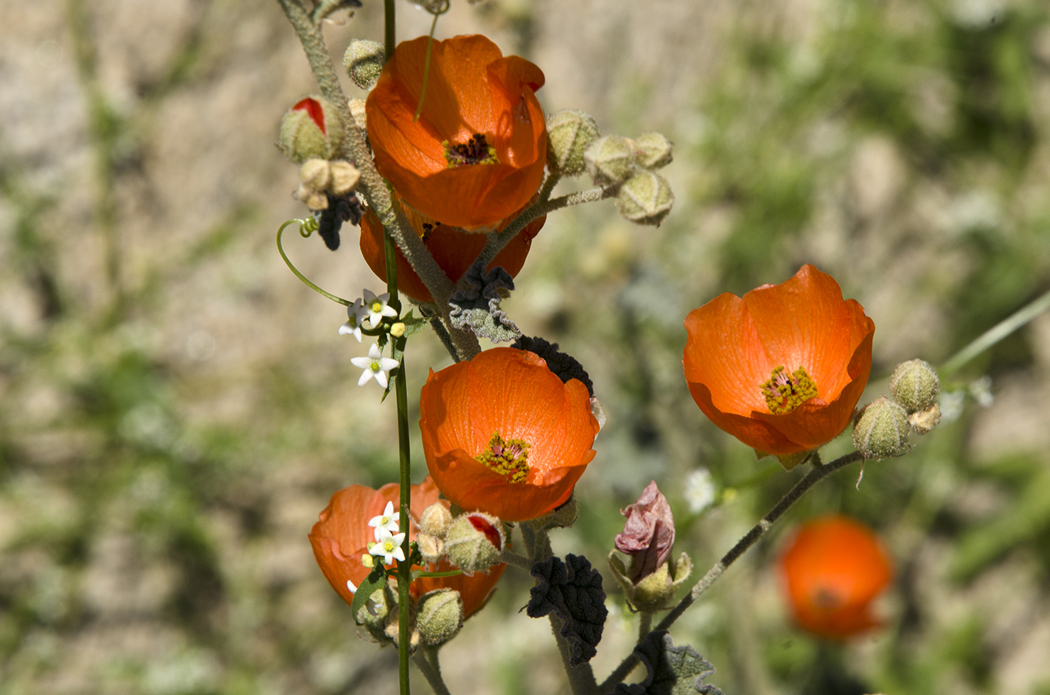Joshua Tree National Park Wildflowers 16.jpg