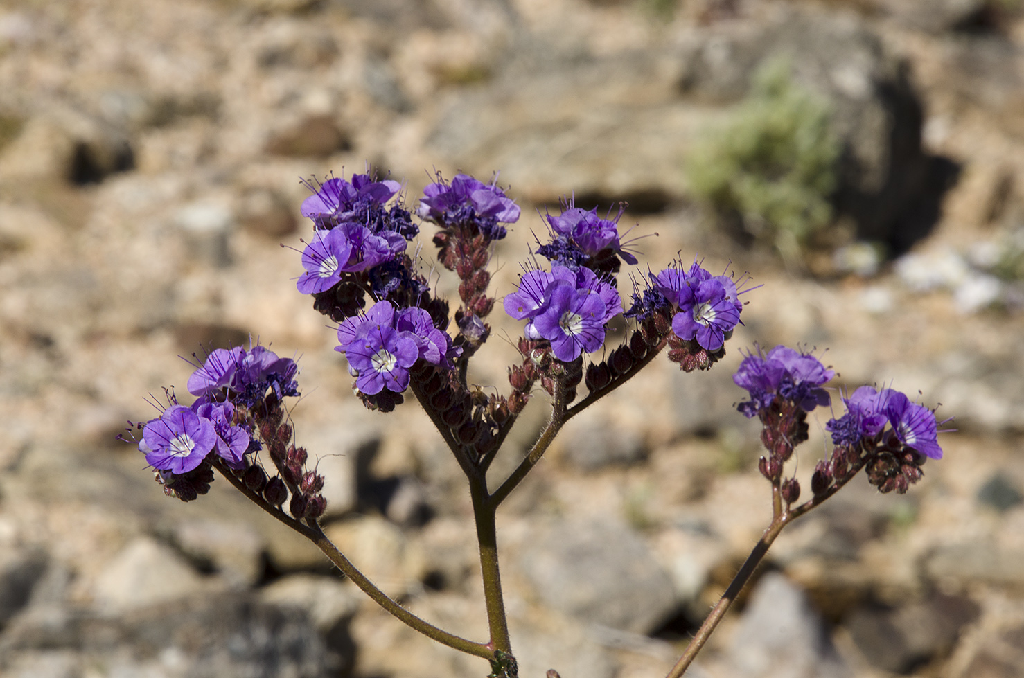 Joshua Tree National Park Wildflowers 19.jpg