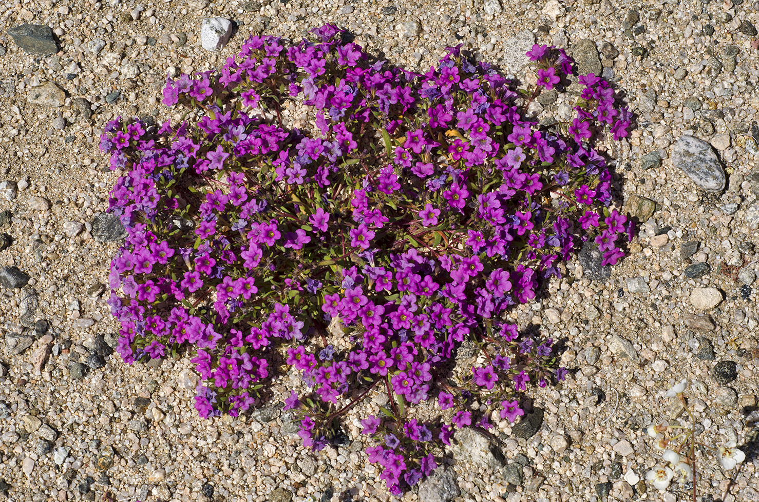 Joshua Tree National Park Wildflowers 23.jpg