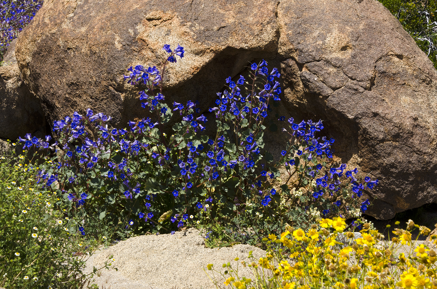 Joshua Tree National Park Wildflowers 22.jpg